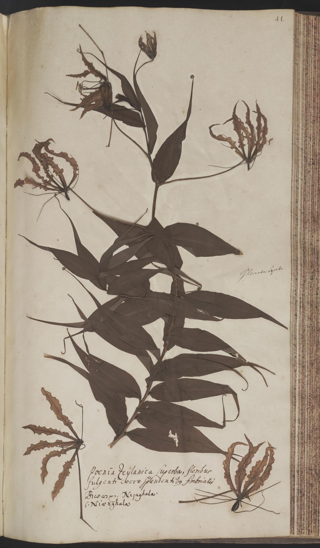 L.2070163 | Gloriosa superba L.