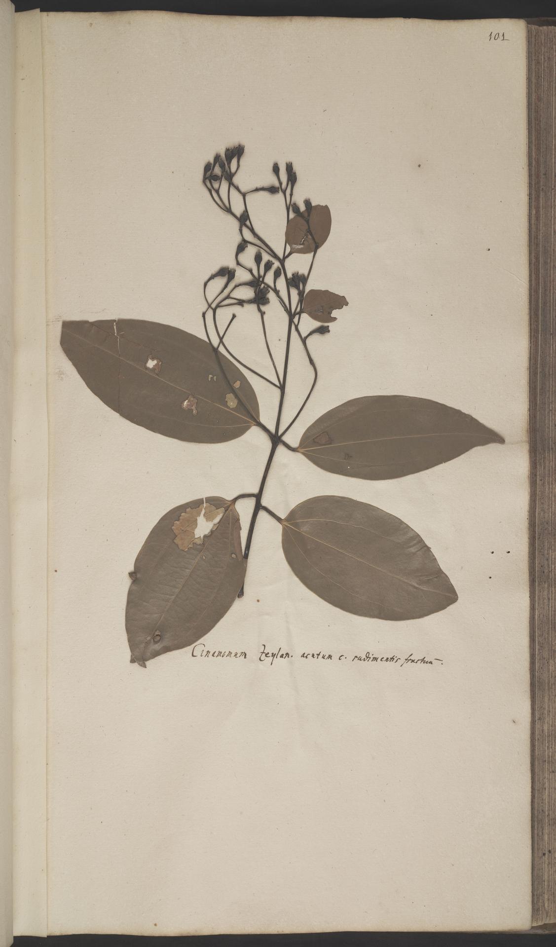 L.2070172 | Cinnamomum verum J.Presl
