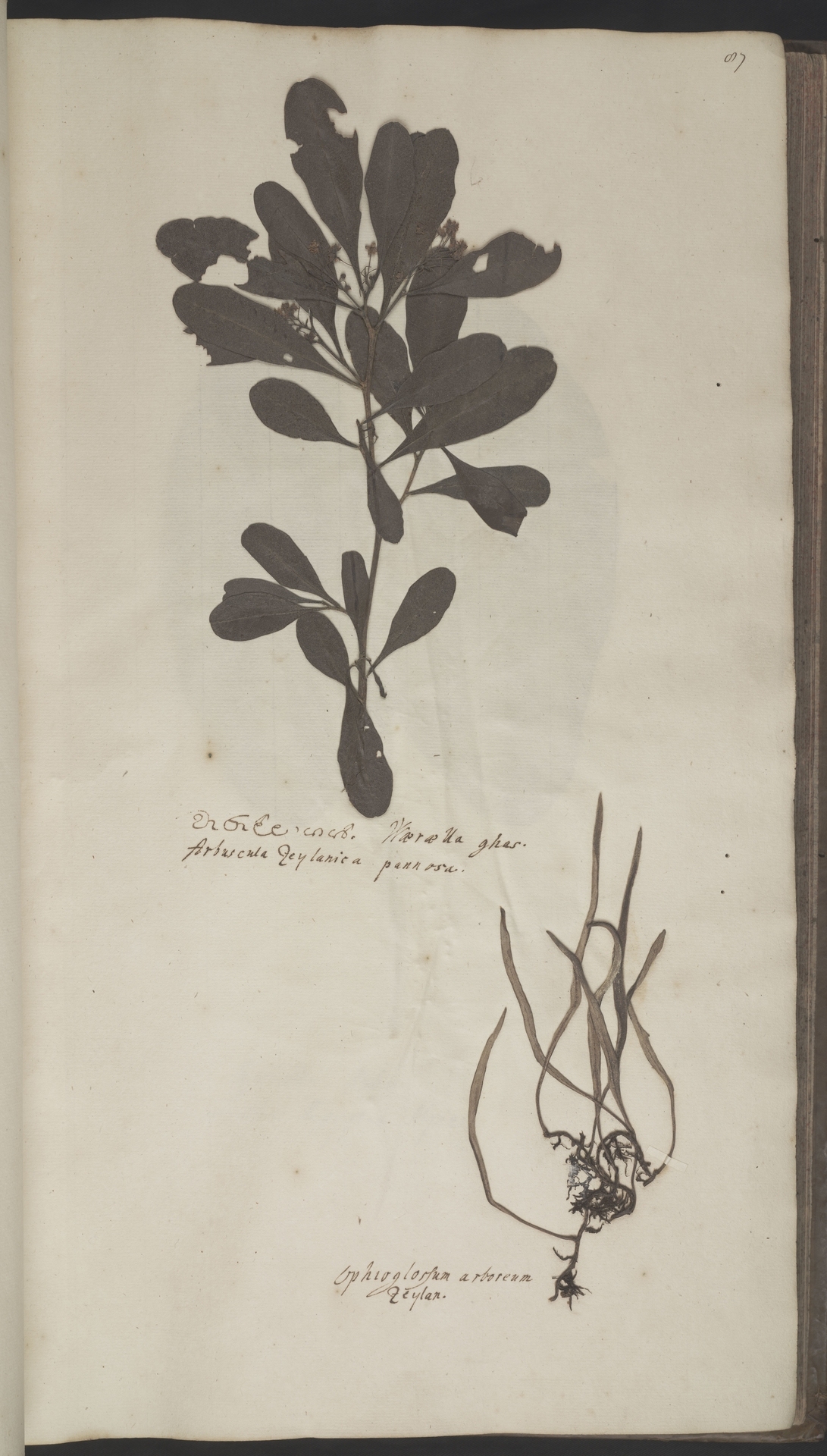 L.2070179 | Dodonaea viscosa (L.) Jacq.