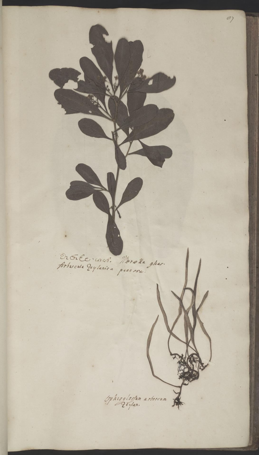 L.2070180 | Pyrrosia lanceolata (L.) Farw.