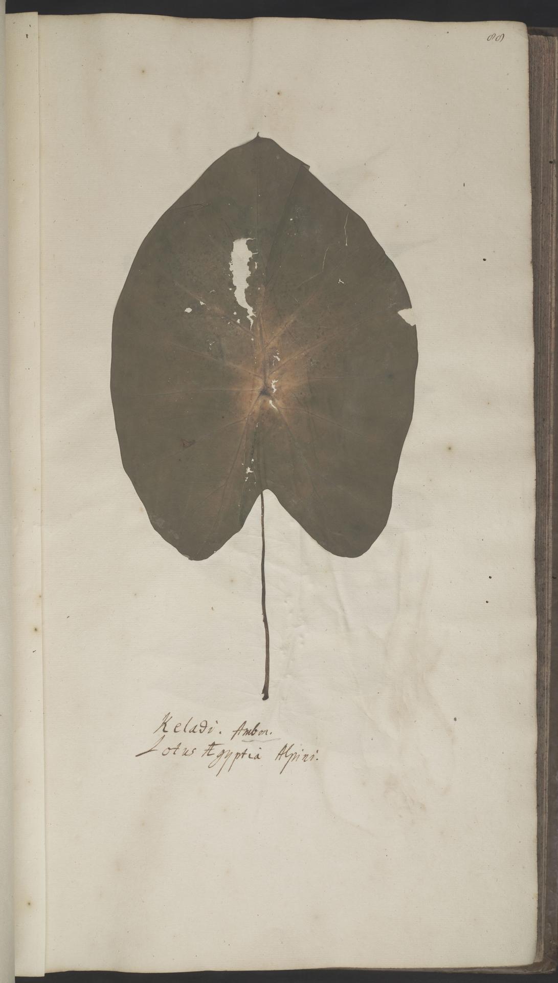L.2070181 | Colocasia esculenta (L.) Schott
