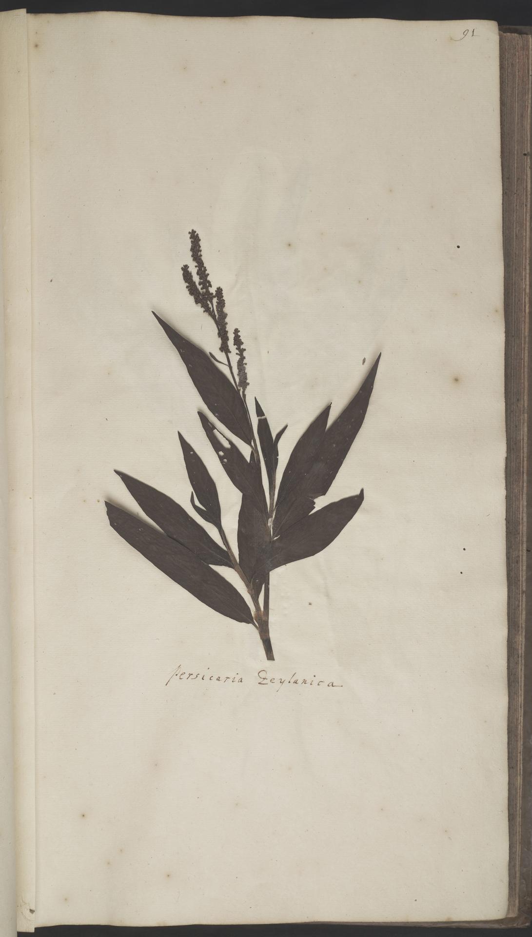 L.2070184 | Polygonum barbatum L.