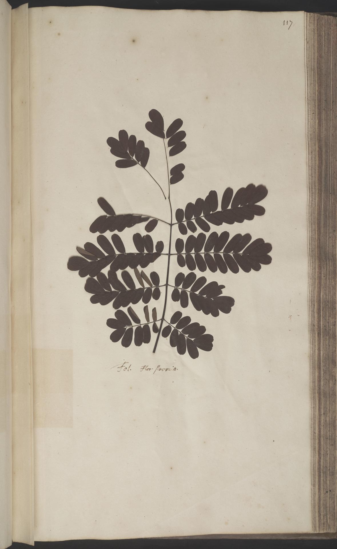 L.2070188 | Caesalpinia pulcherrima (L.) Sw.