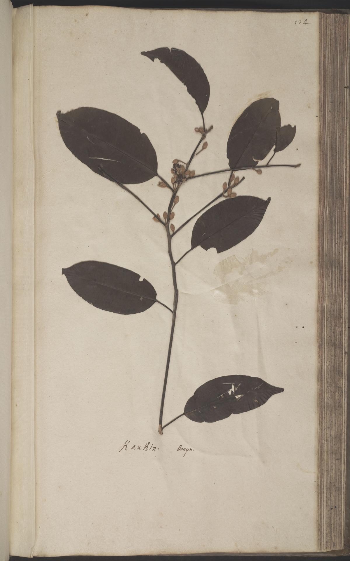 L.2070196 | Mimusops elengi L.