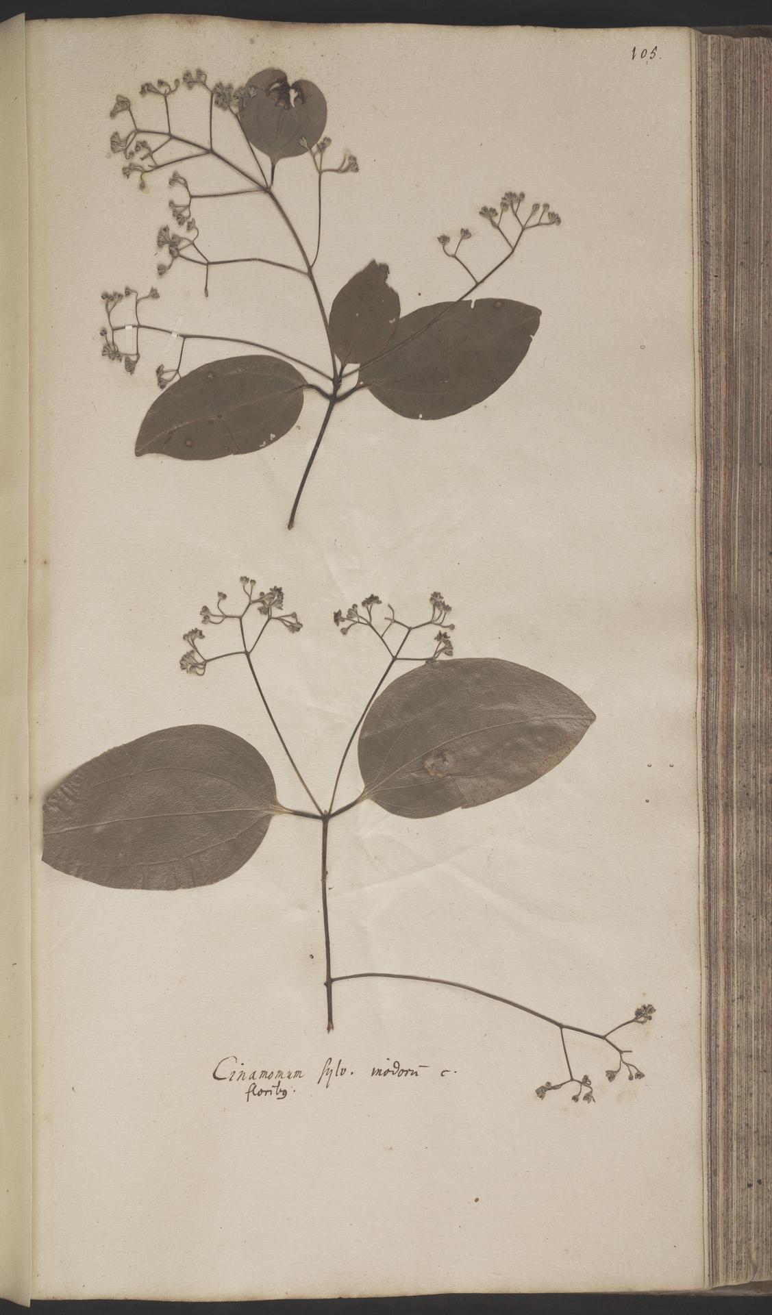 L.2070198   Cinnamomum verum J.Presl