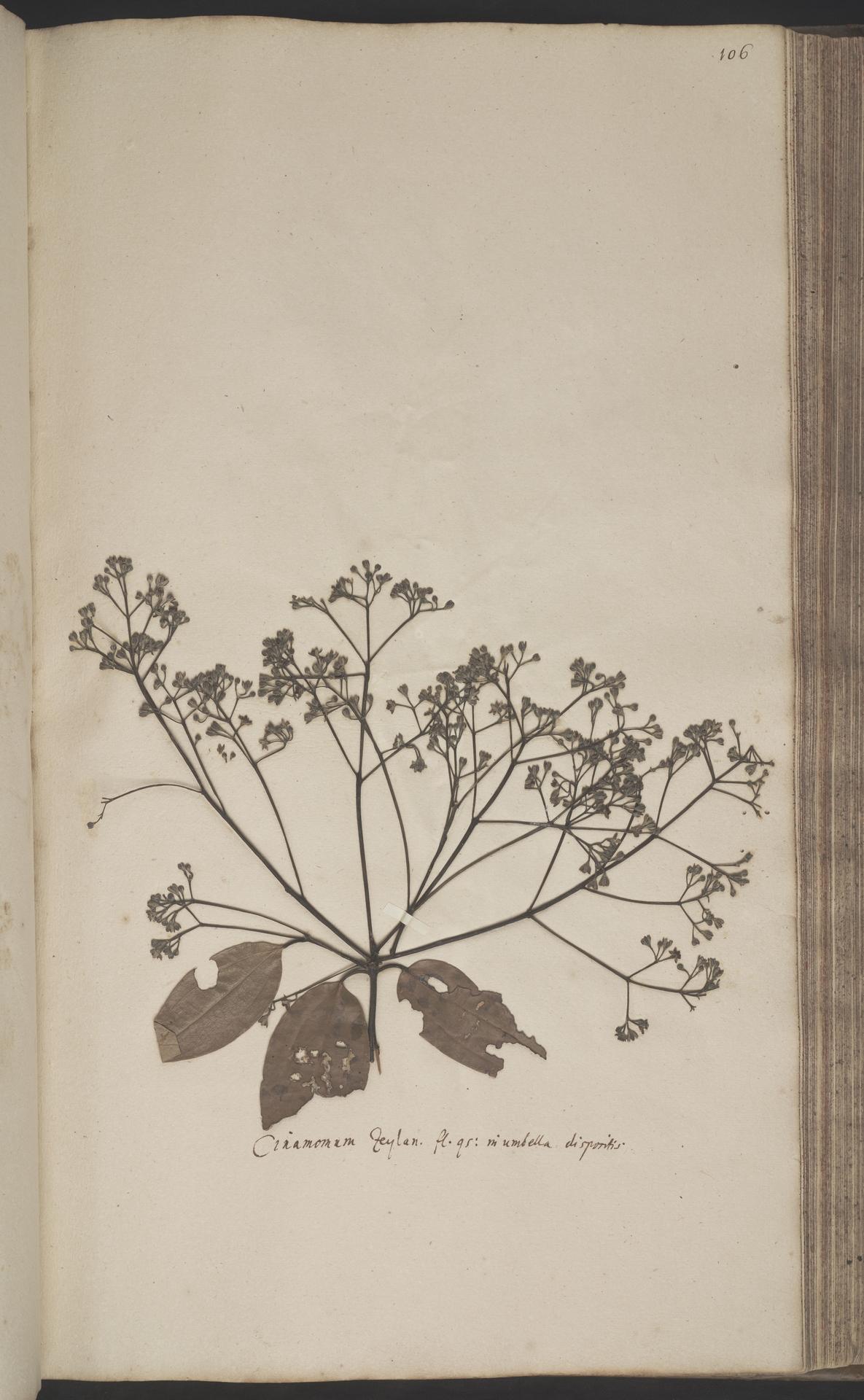 L.2070199   Cinnamomum verum J.Presl