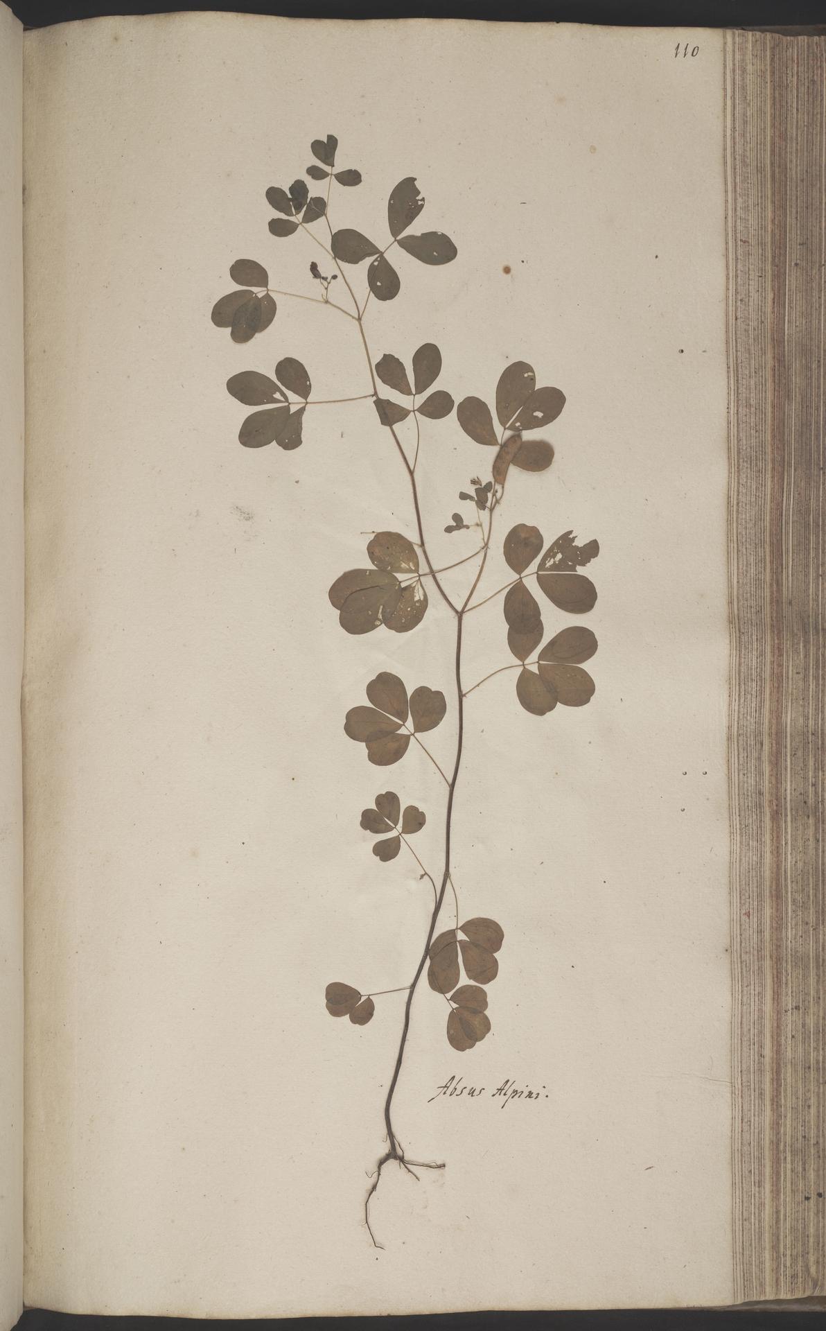 L.2070203 | Chamaecrista absus (L.) H.S.Irwin & Barneby