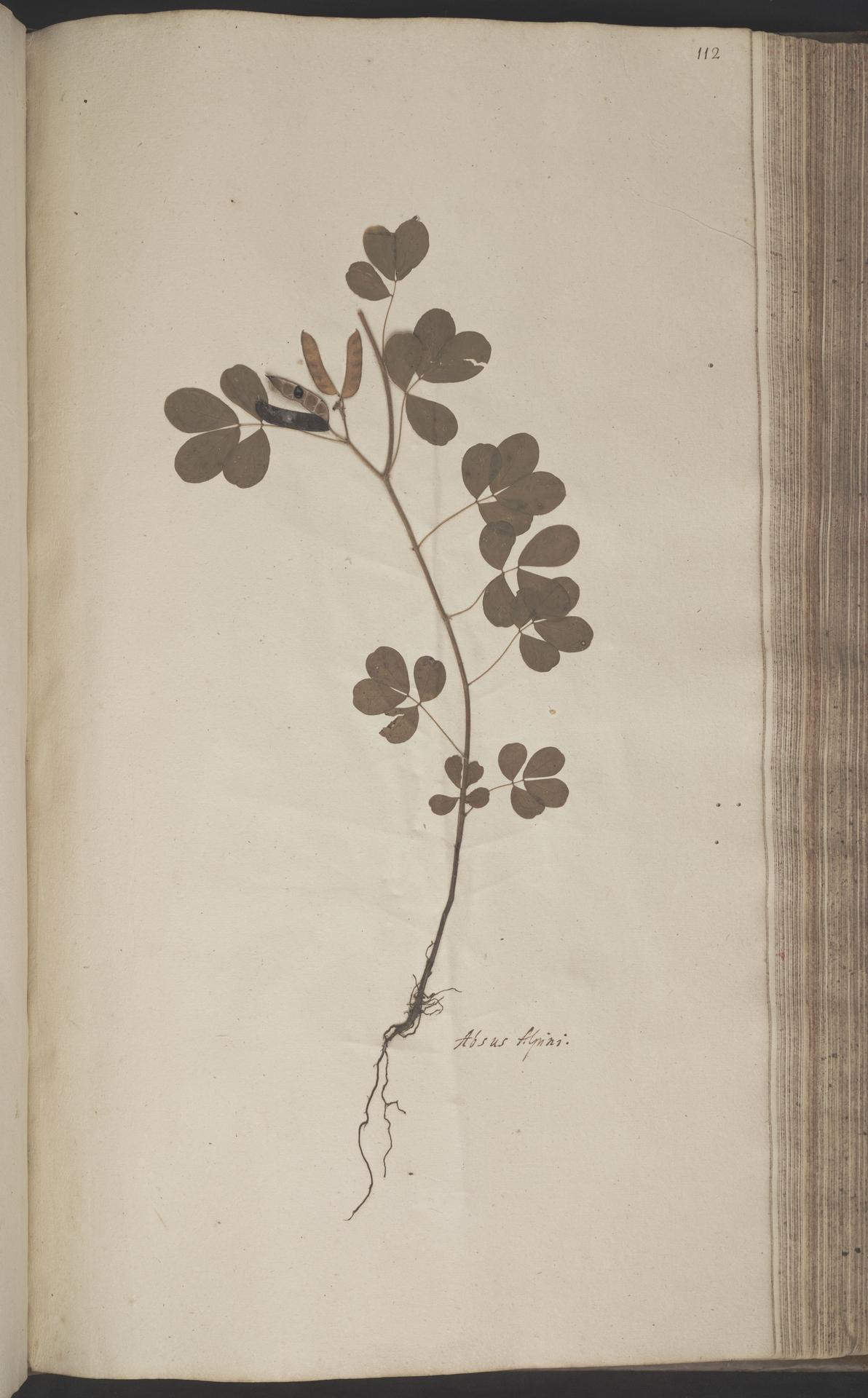 L.2070205 | Chamaecrista absus (L.) H.S.Irwin & Barneby