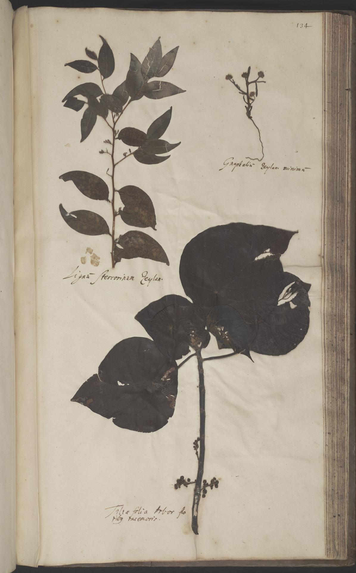 L.2070212 | Macaranga indica Wight