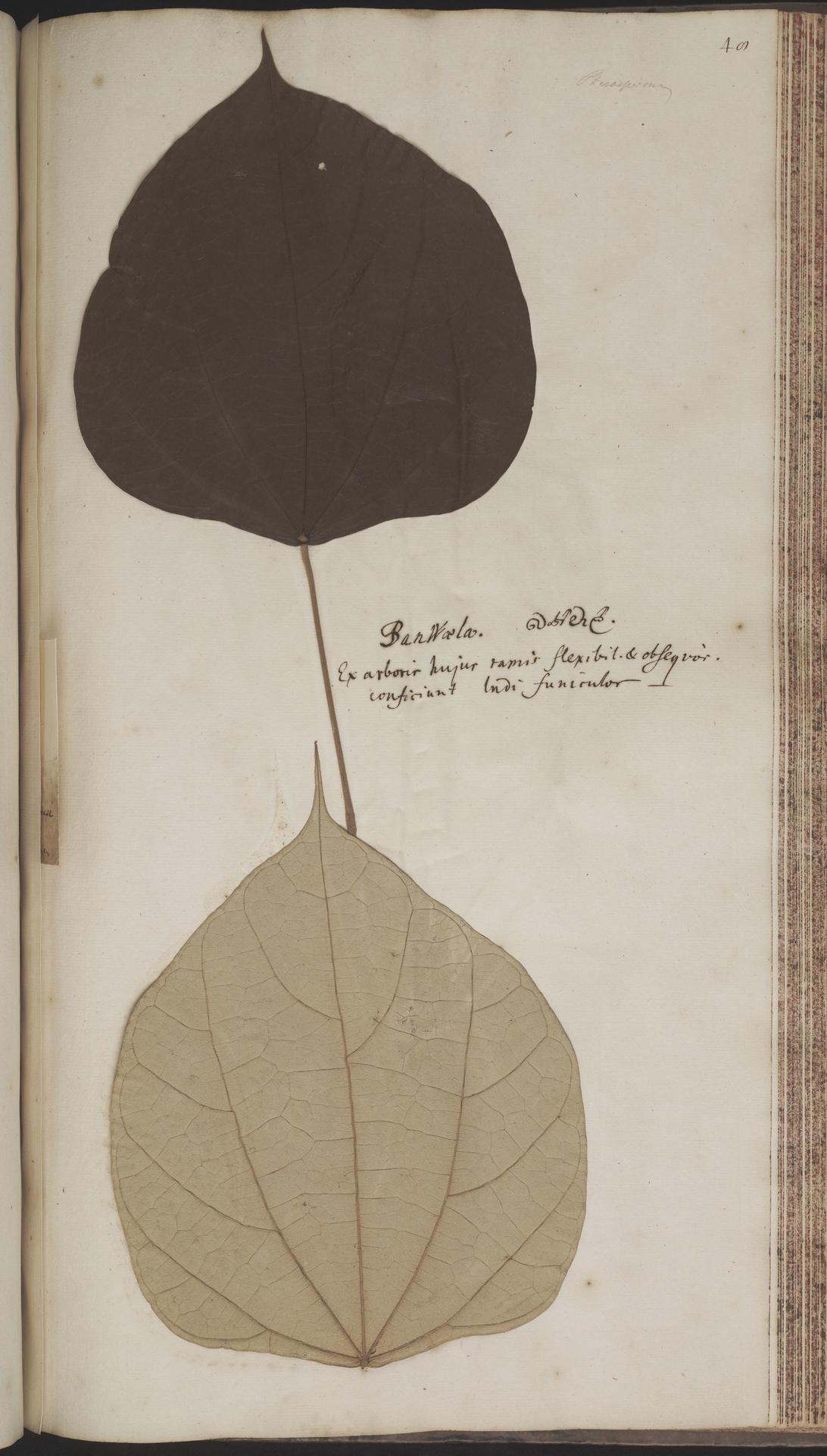 L.2070214   Coscinium fenestratum (Gaertn.) Colebr.