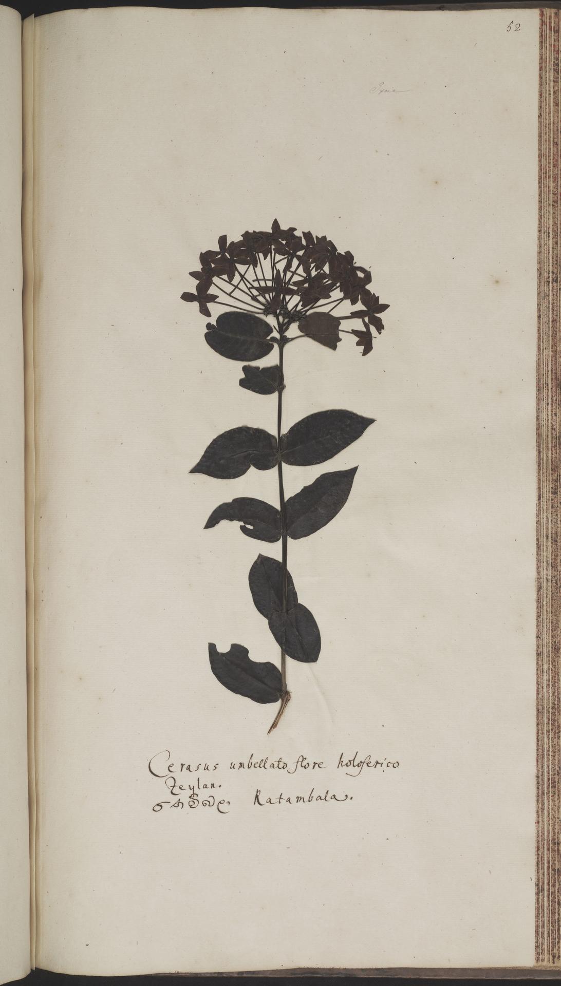 L.2070218 | Ixora coccinea L.