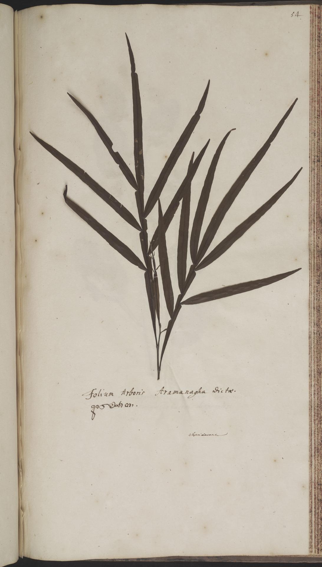 L.2070220   Filicium decipiens (Wight & Arn.) Thwaites