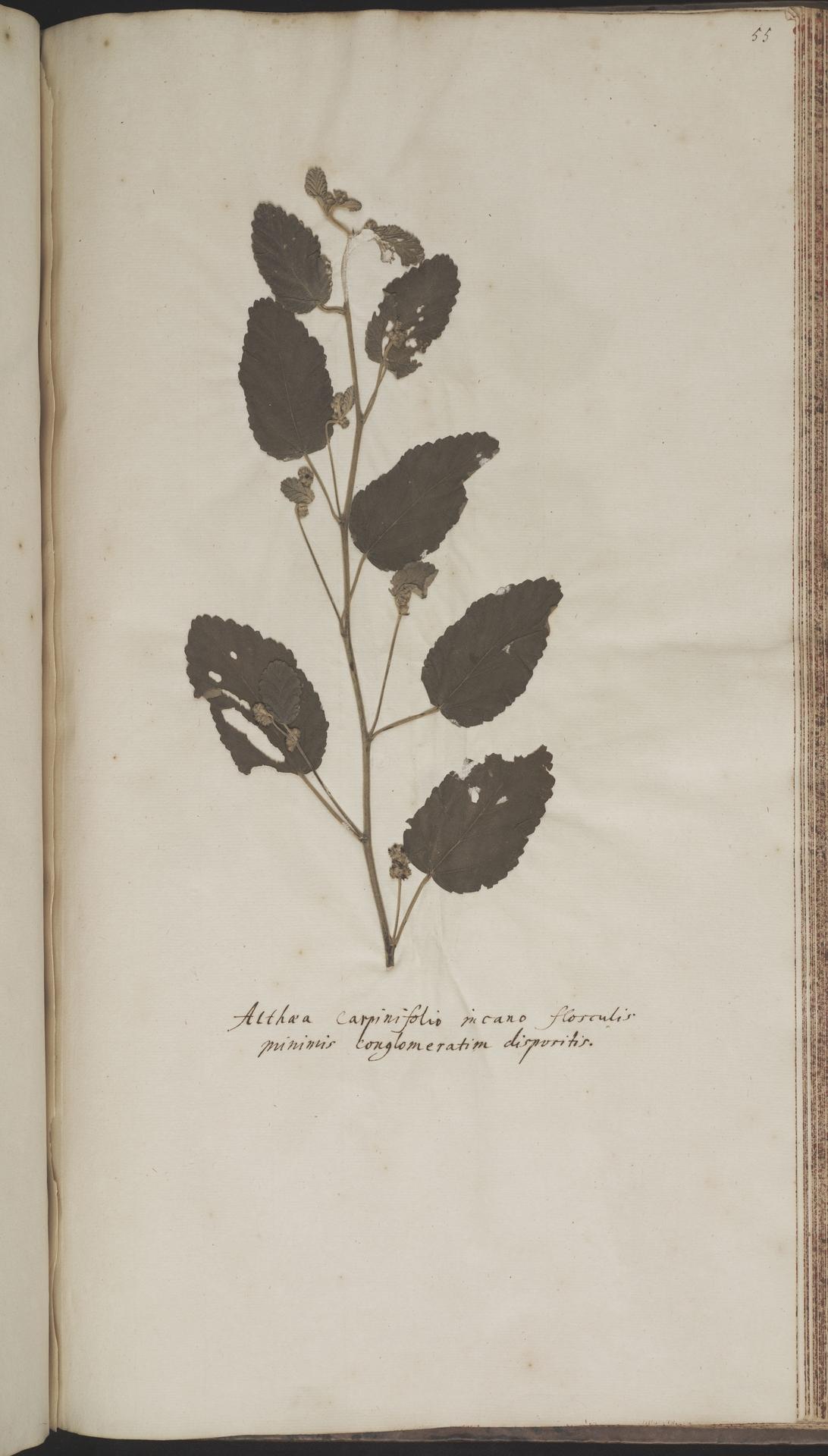 L.2070221 | Waltheria indica L.