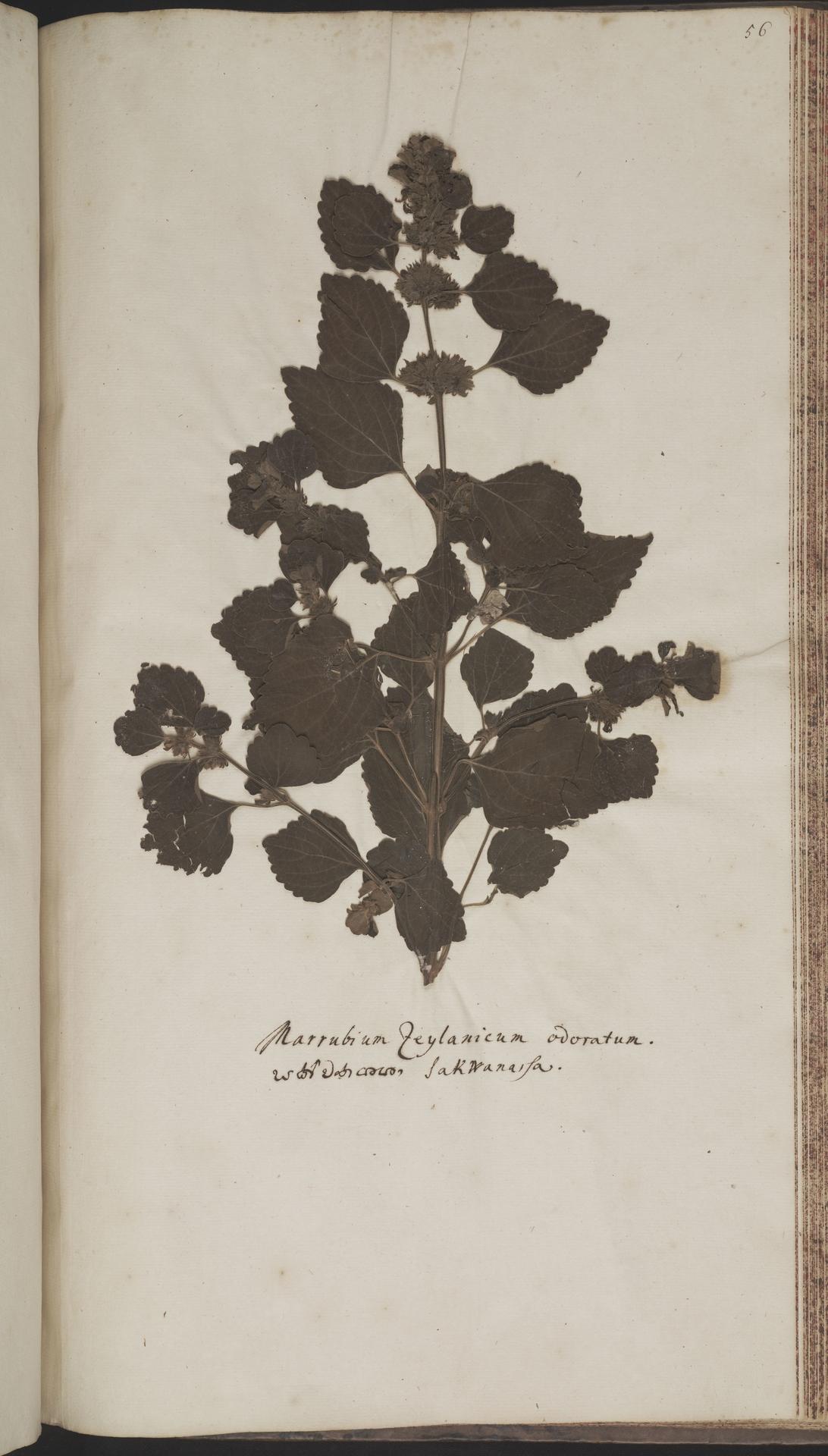 L.2070222 | Anisomeles indica (L.) Kuntze