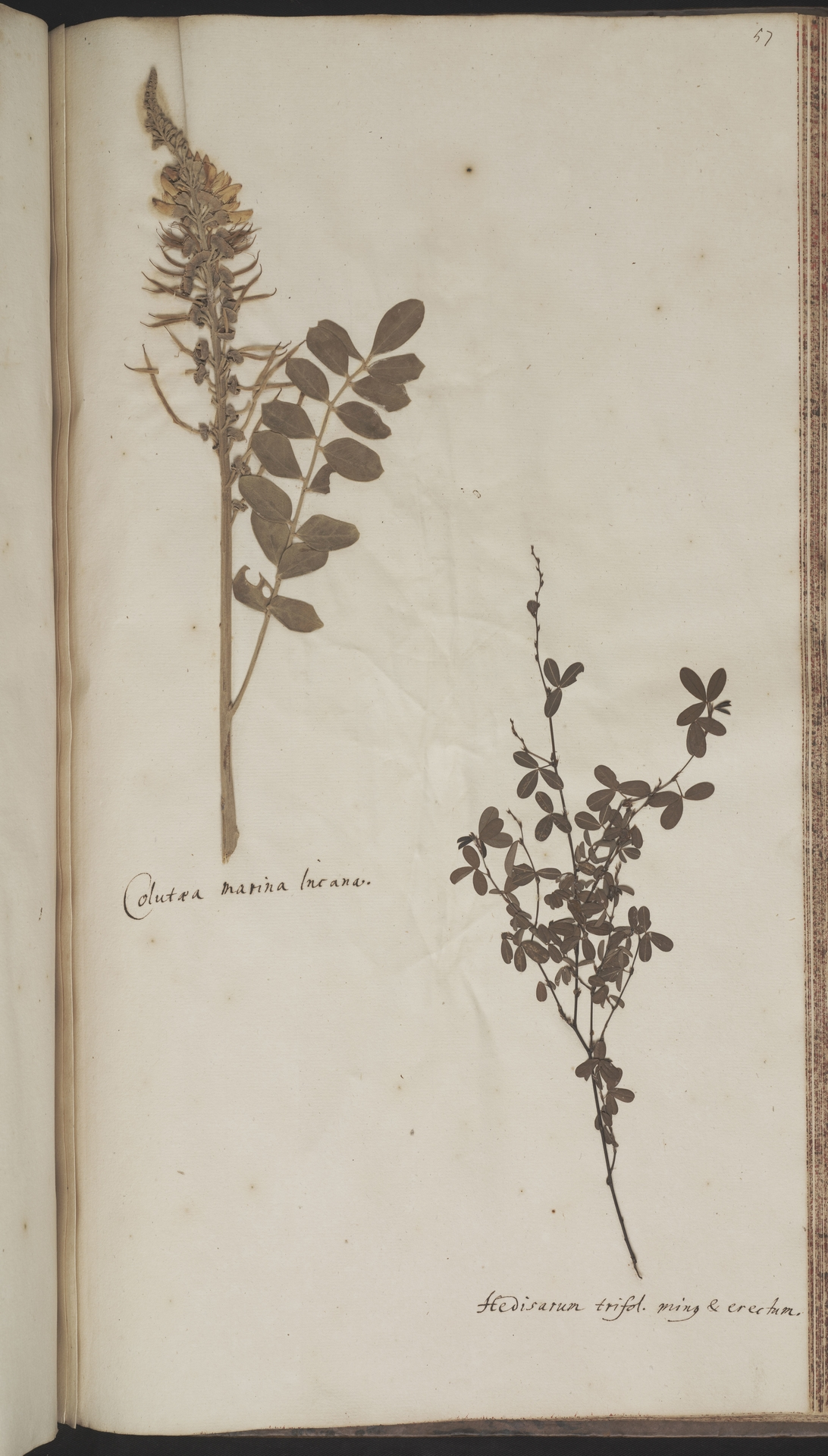 L.2070223   Sophora tomentosa L.
