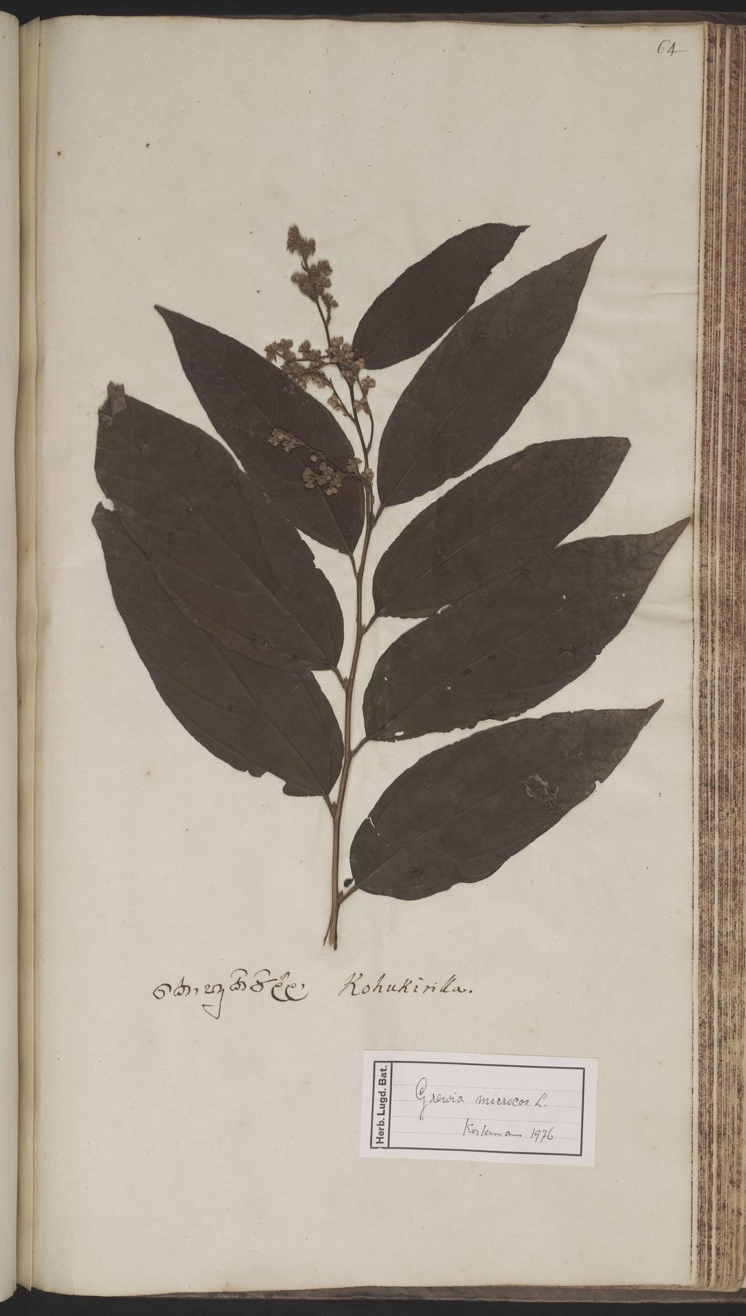 L.2070231 | Microcos paniculata L.