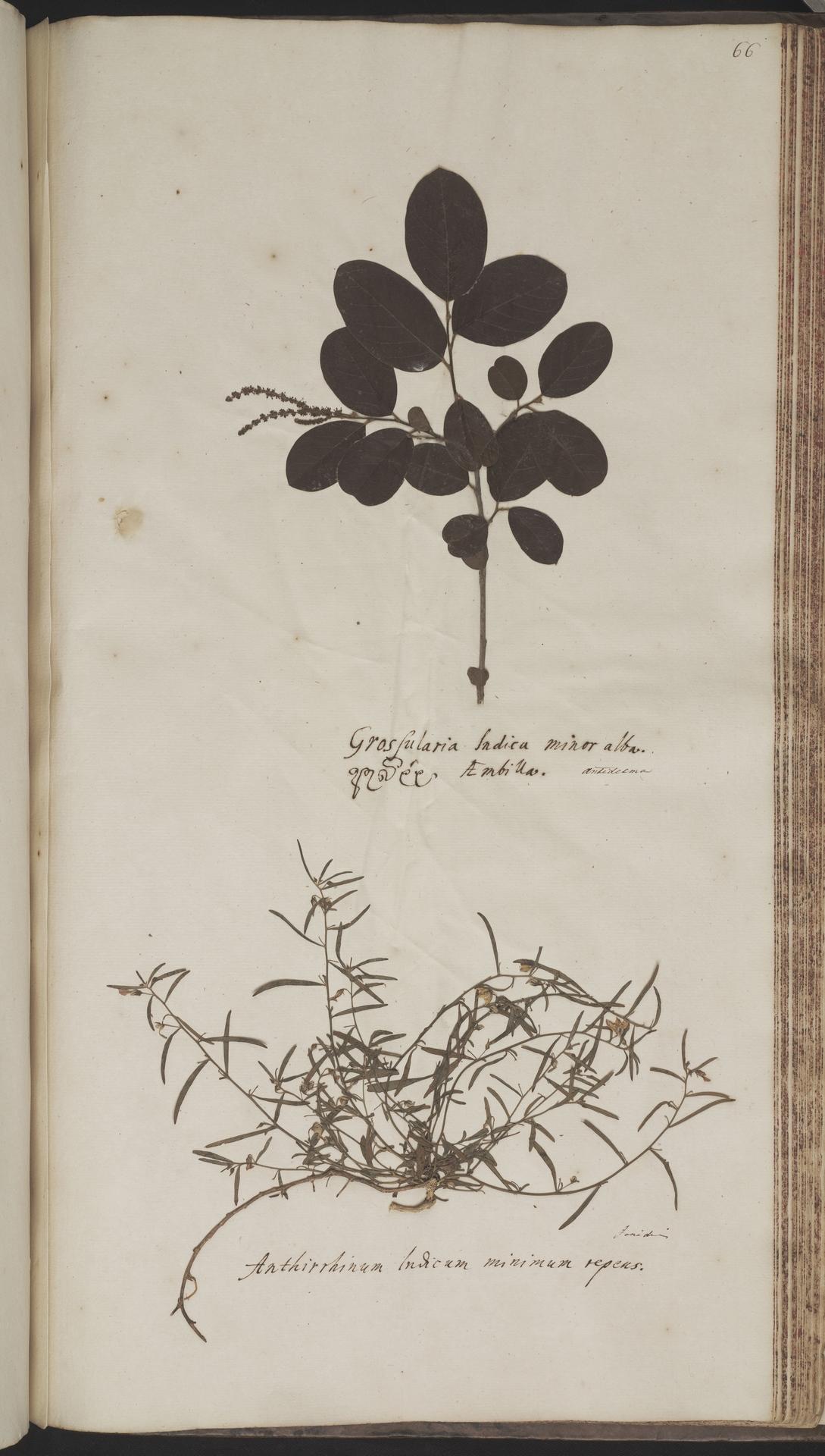 L.2070233 | Antidesma ghaesembilla Gaertn.