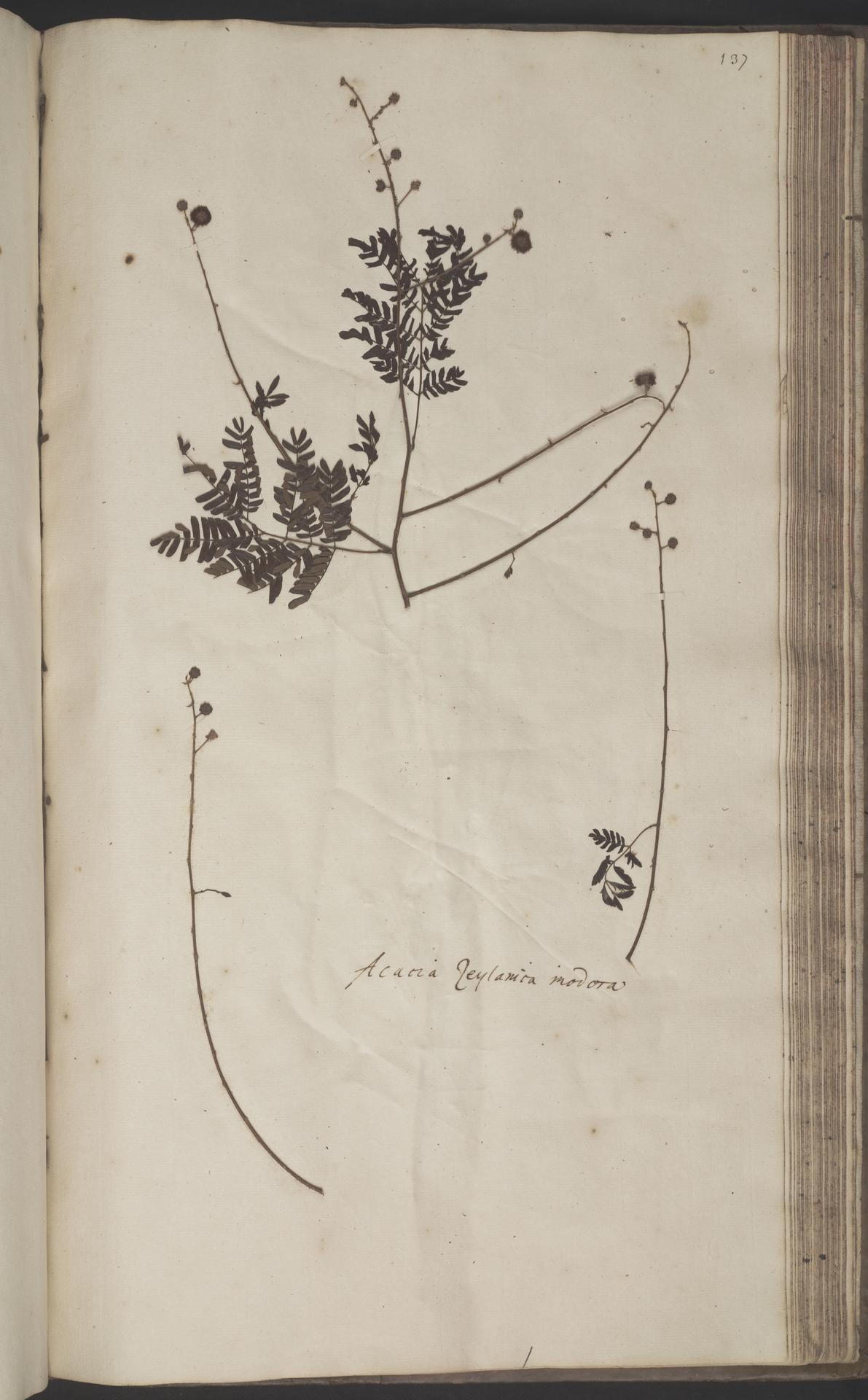 L.2070235 | Acacia caesia (L.) Willd.