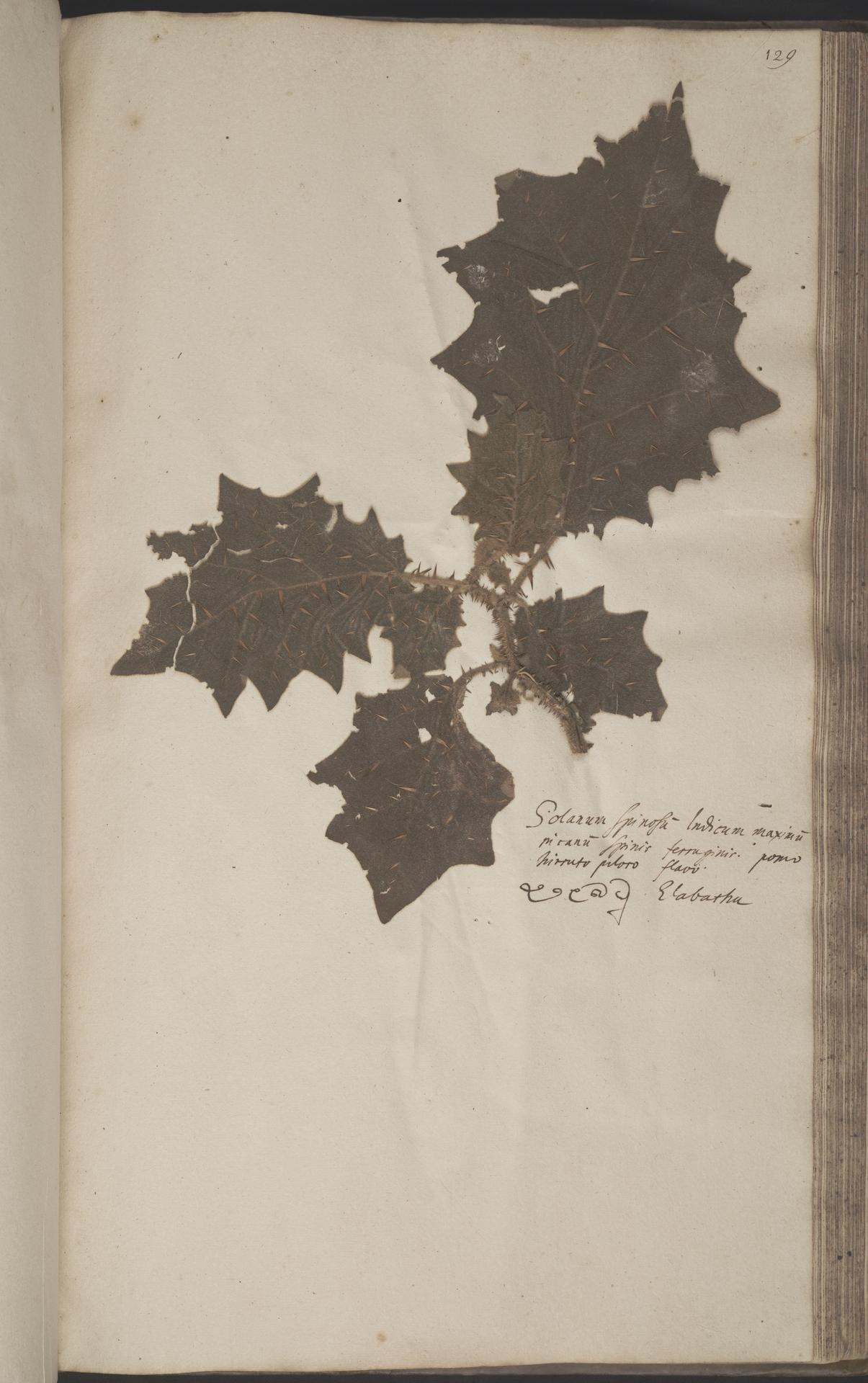 L.2070246 | Solanum lasiocarpum Dunal