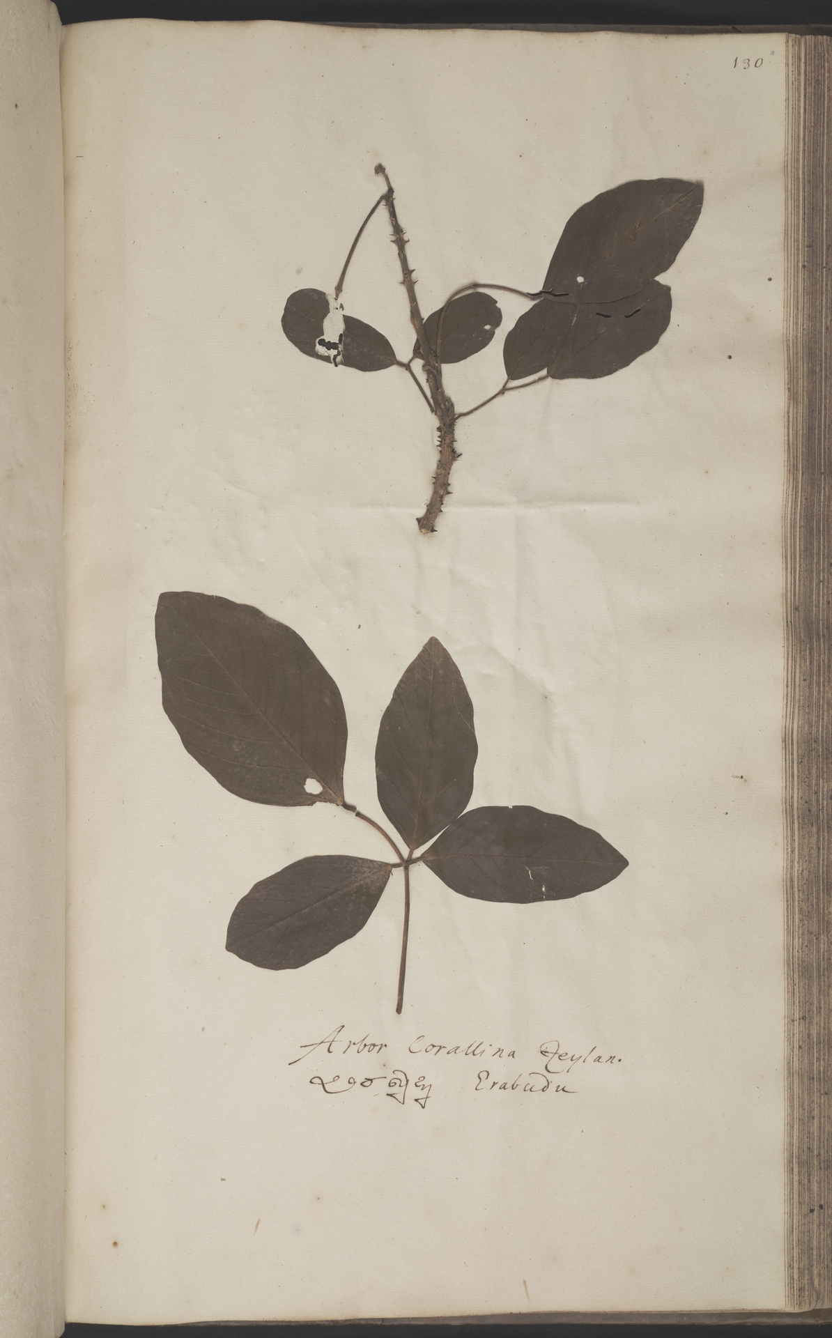 L.2070247 | Erythraea fusca Lour.