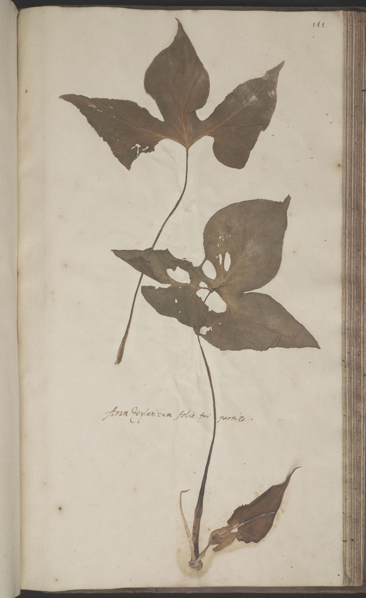L.2070252 | Typhonium trilobatum (L.) Schott
