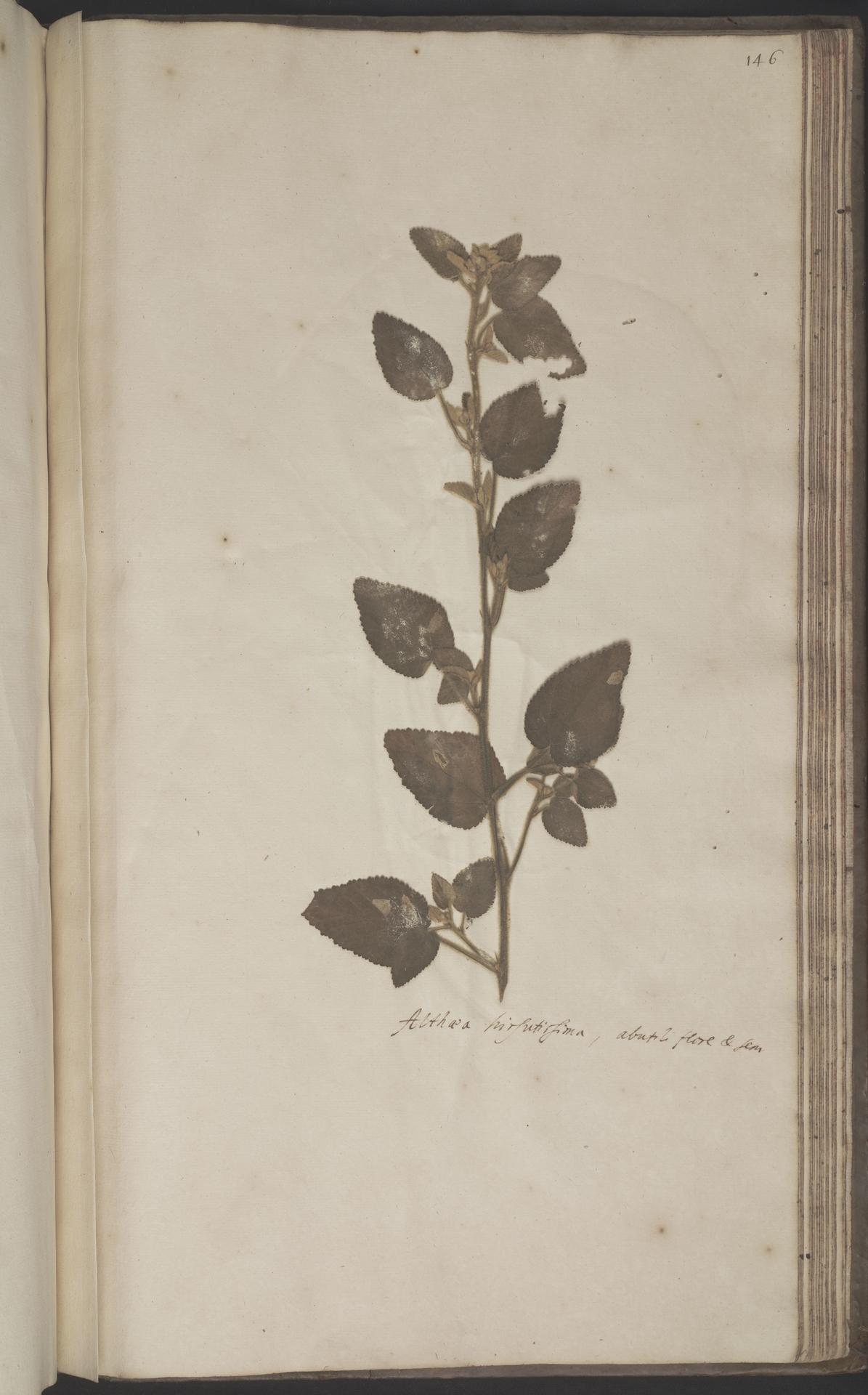 L.2070257 | Sida cordifolia L.