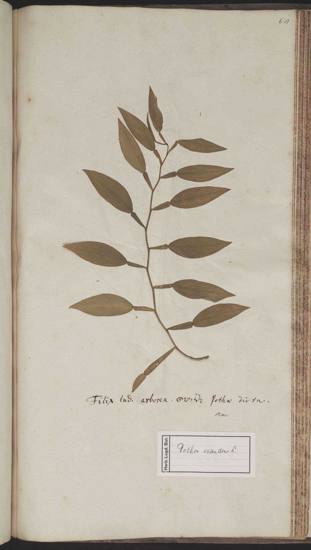 L.2070263 | Pothos scandens L.