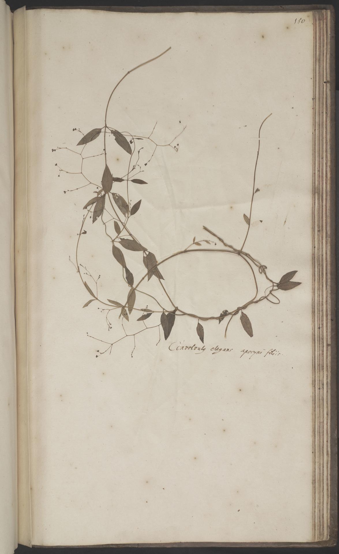 L.2070271 | Tylophora flexuosa R.Br.