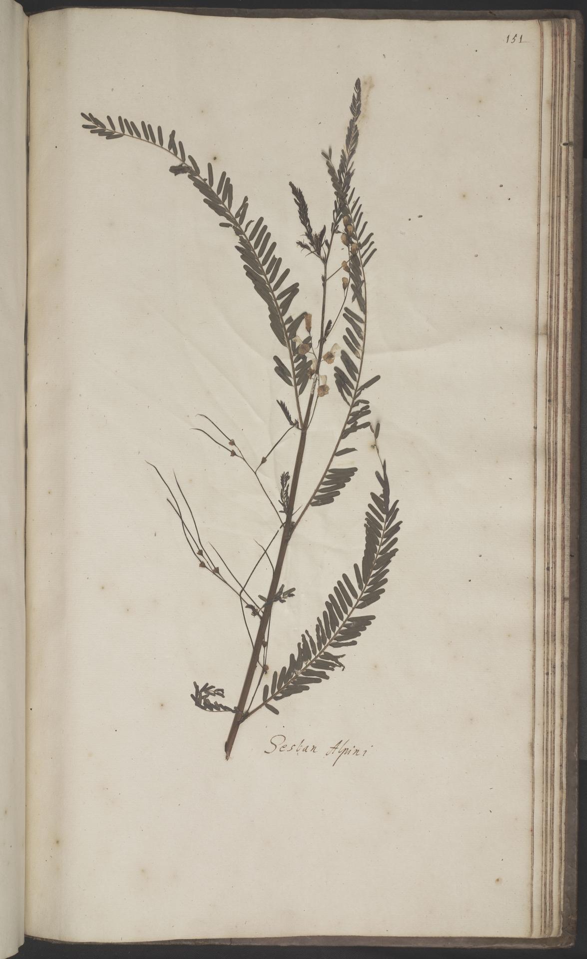 L.2070272 | Sesbania bispinosa (Jacq.) W.Wight