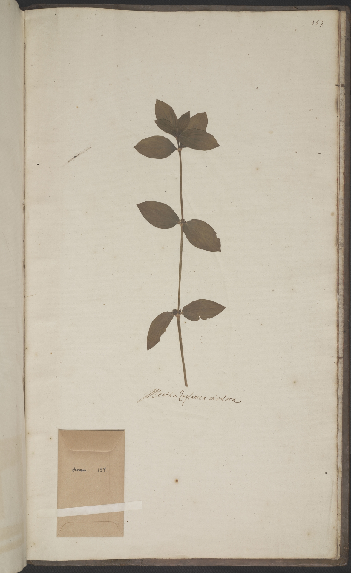 L.2070279 | Oldenlandia auricularia (L.) K.Schum.