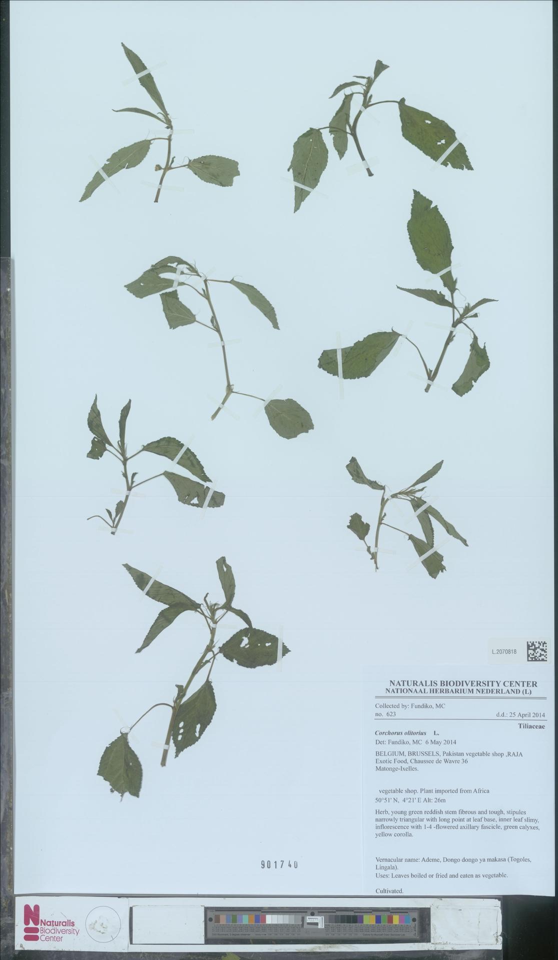 L.2070818   Corchorus olitorius L.