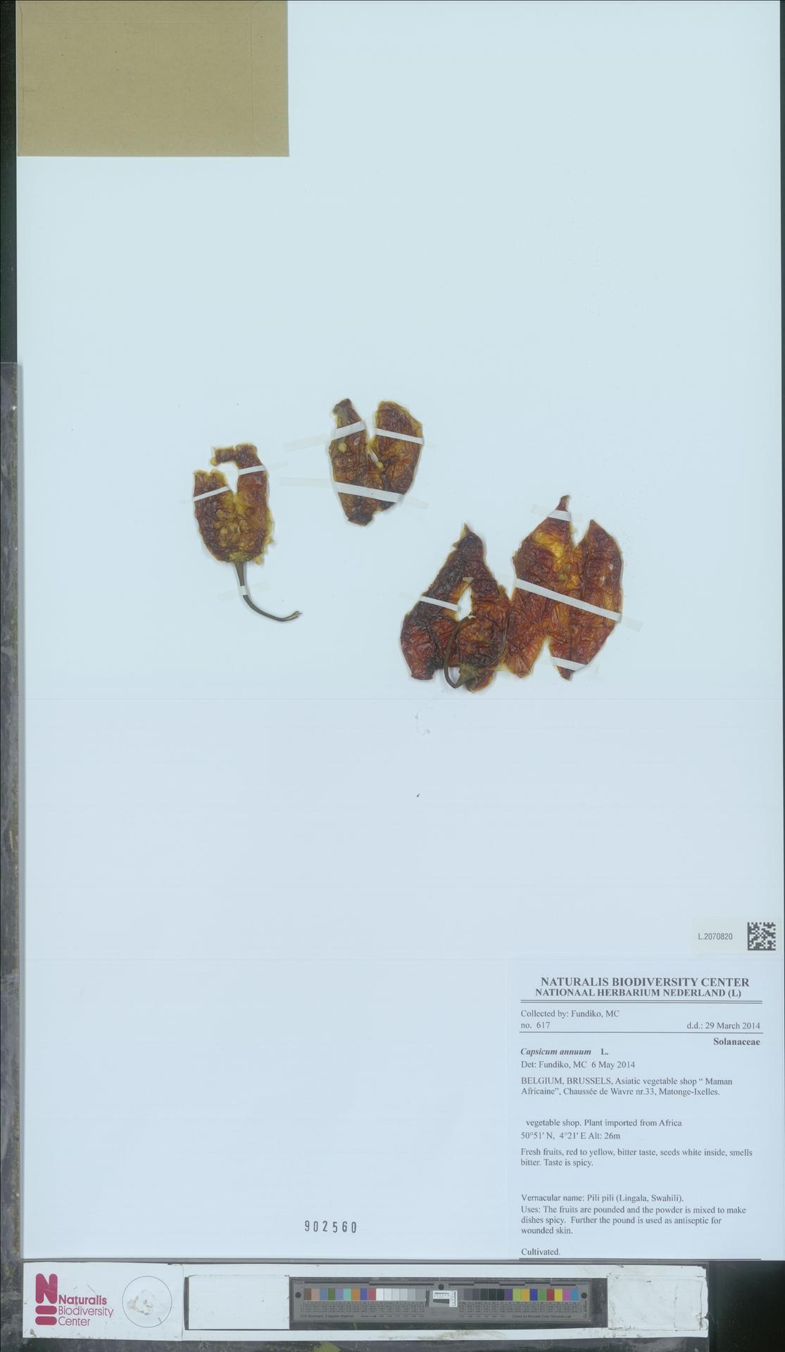 L.2070820 | Capsicum annuum L.
