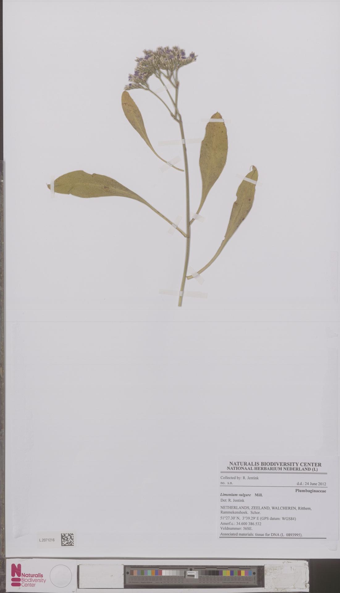 L.2071216 | Limonium vulgare Mill.