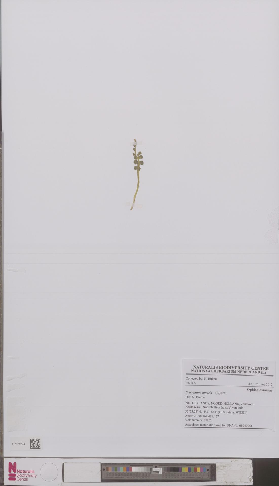 L.2071224 | Botrychium lunaria (L.) Sw.