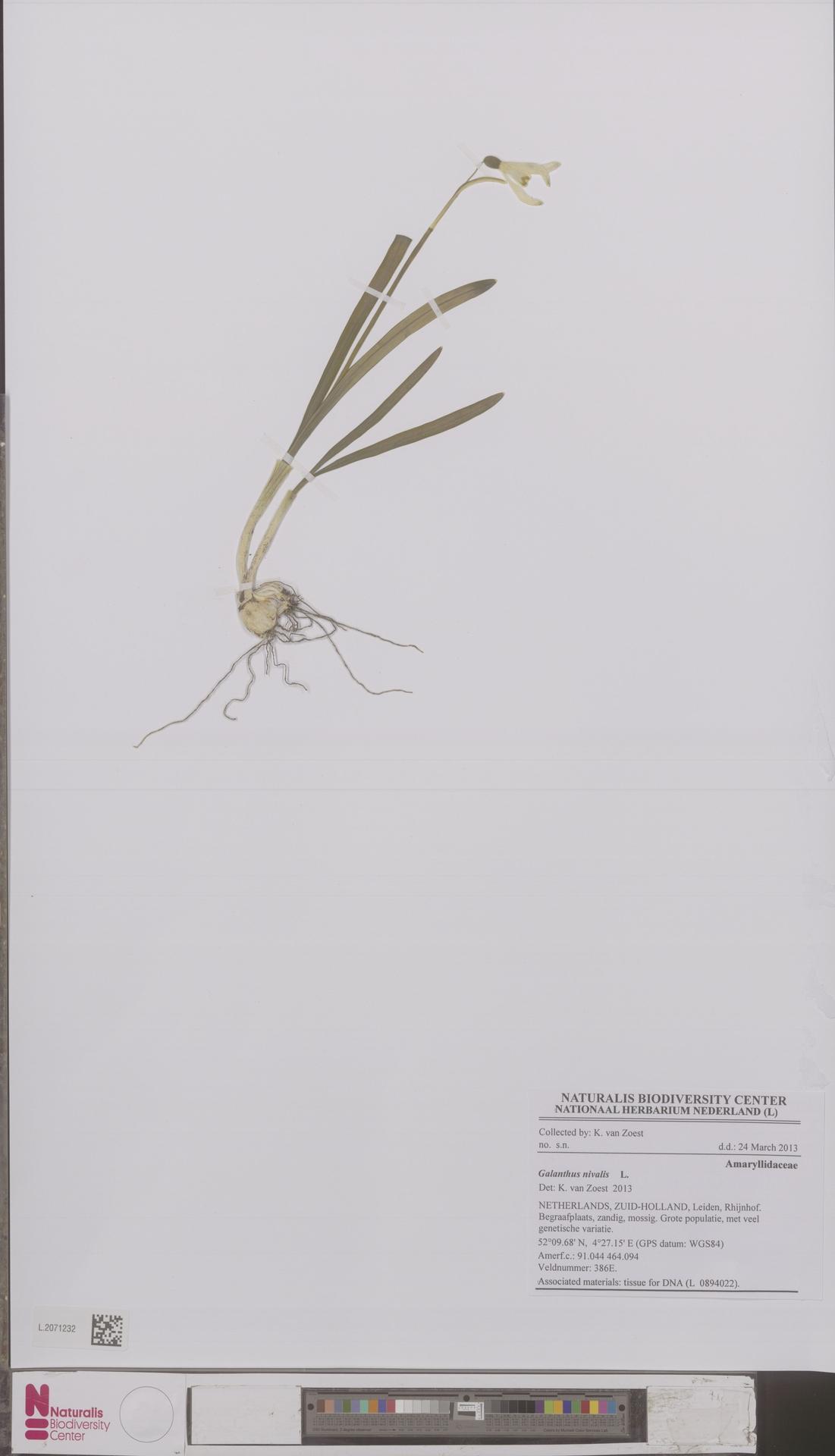 L.2071232 | Galanthus nivalis L.