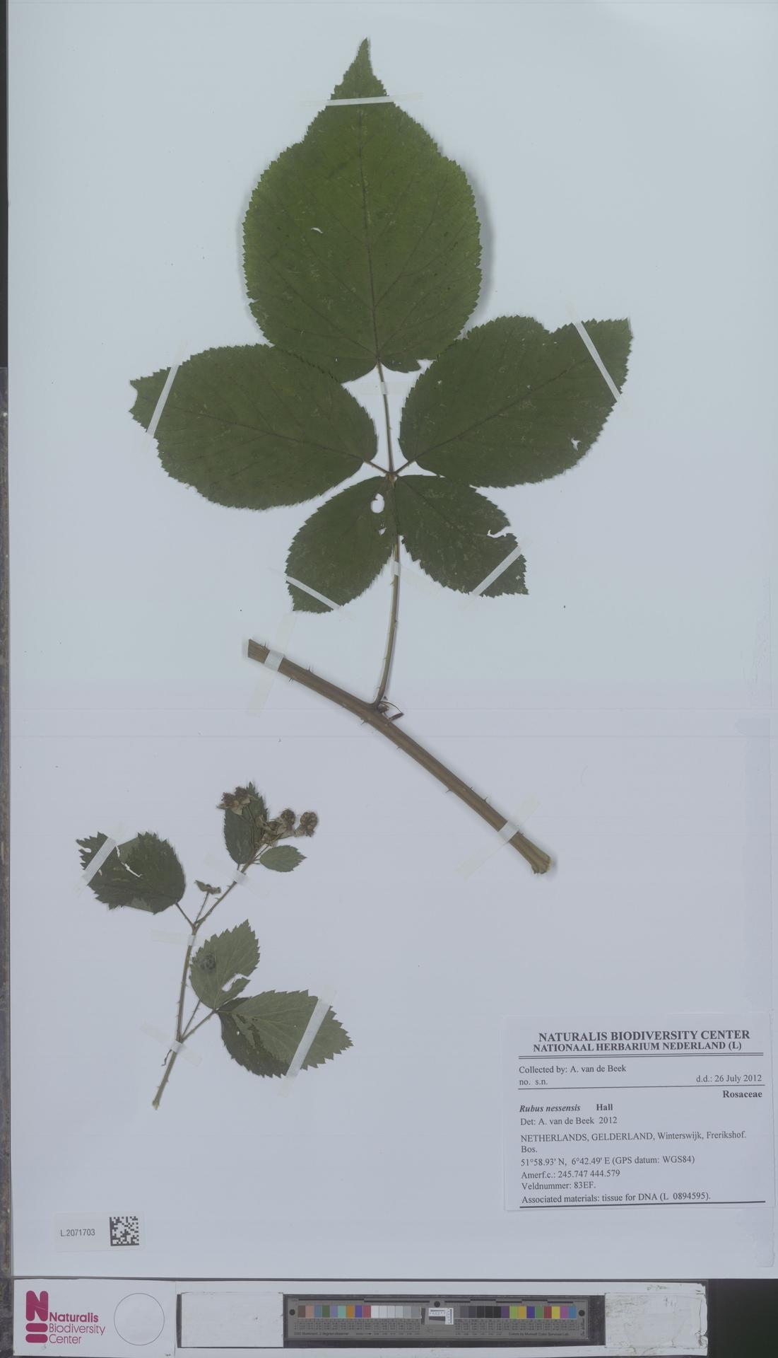 L.2071703 | Rubus nessensis Hall
