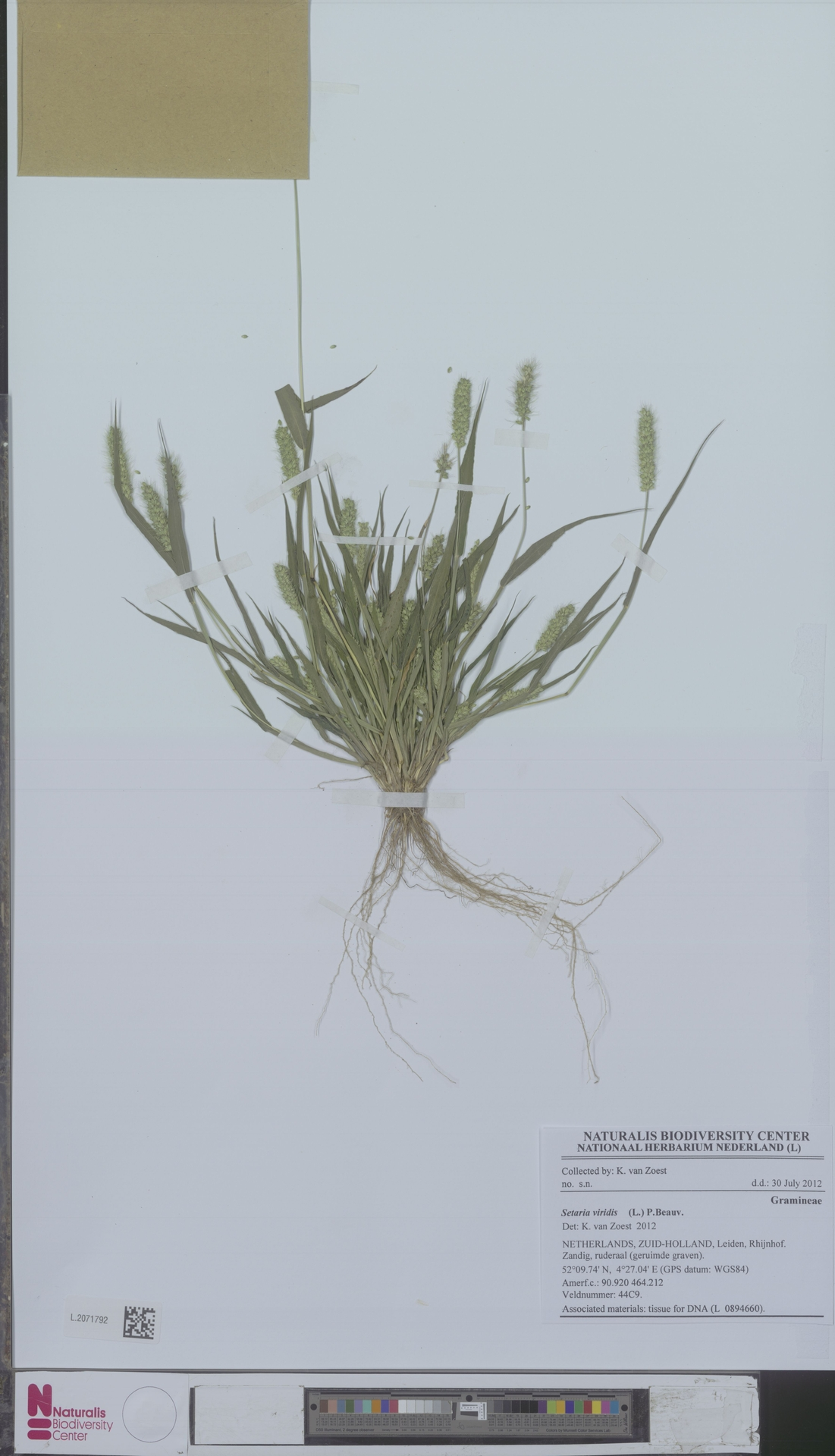 L.2071792 | Setaria viridis (L.) P.Beauv.