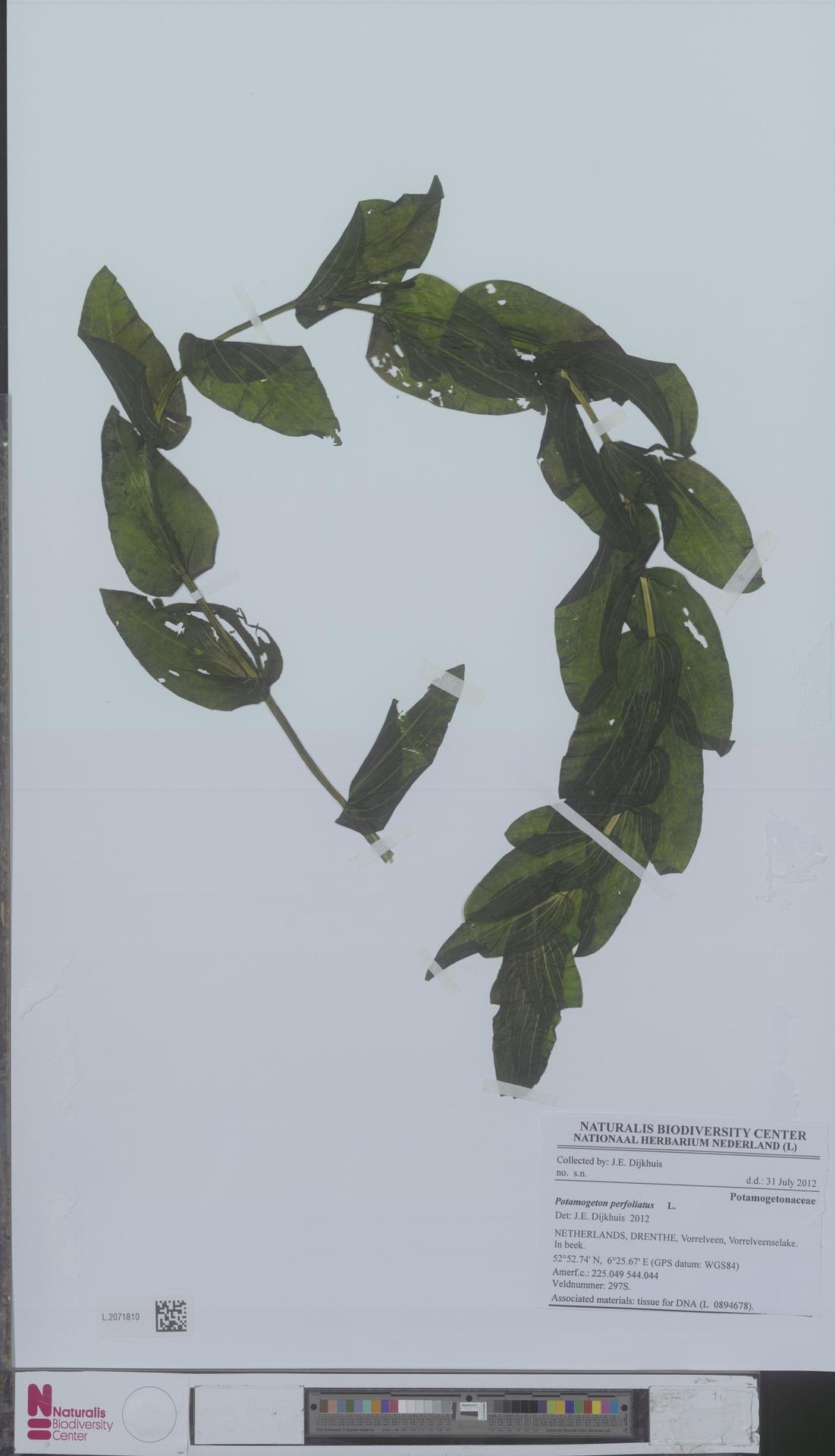 L.2071810   Potamogeton perfoliatus L.
