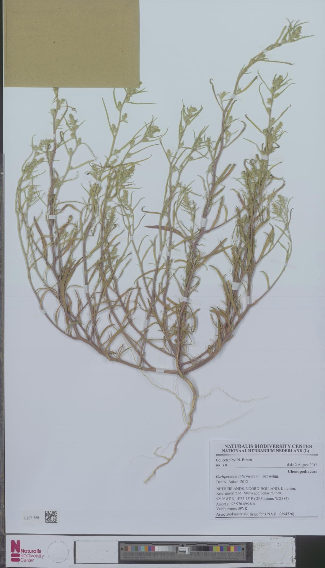 L.2071859 | Corispermum intermedium Schweigg.