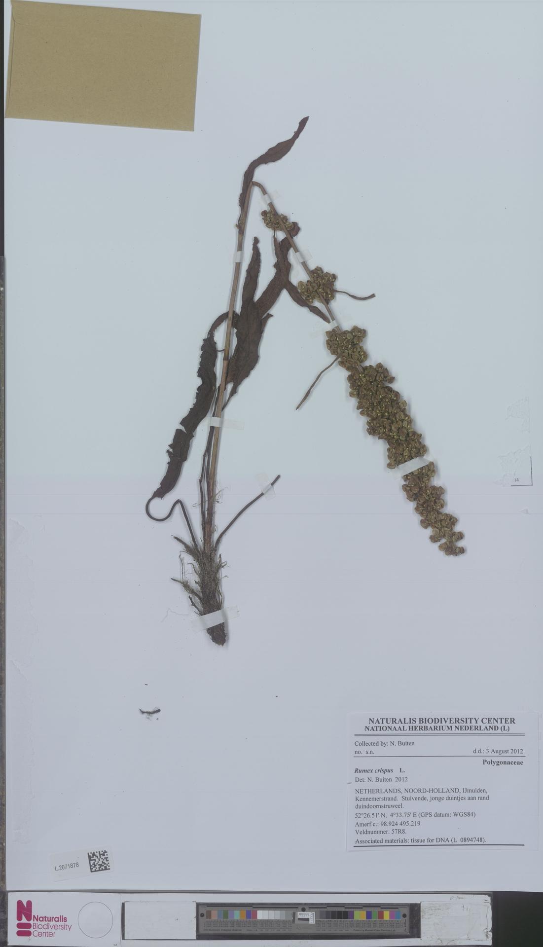 L.2071878   Rumex crispus L.