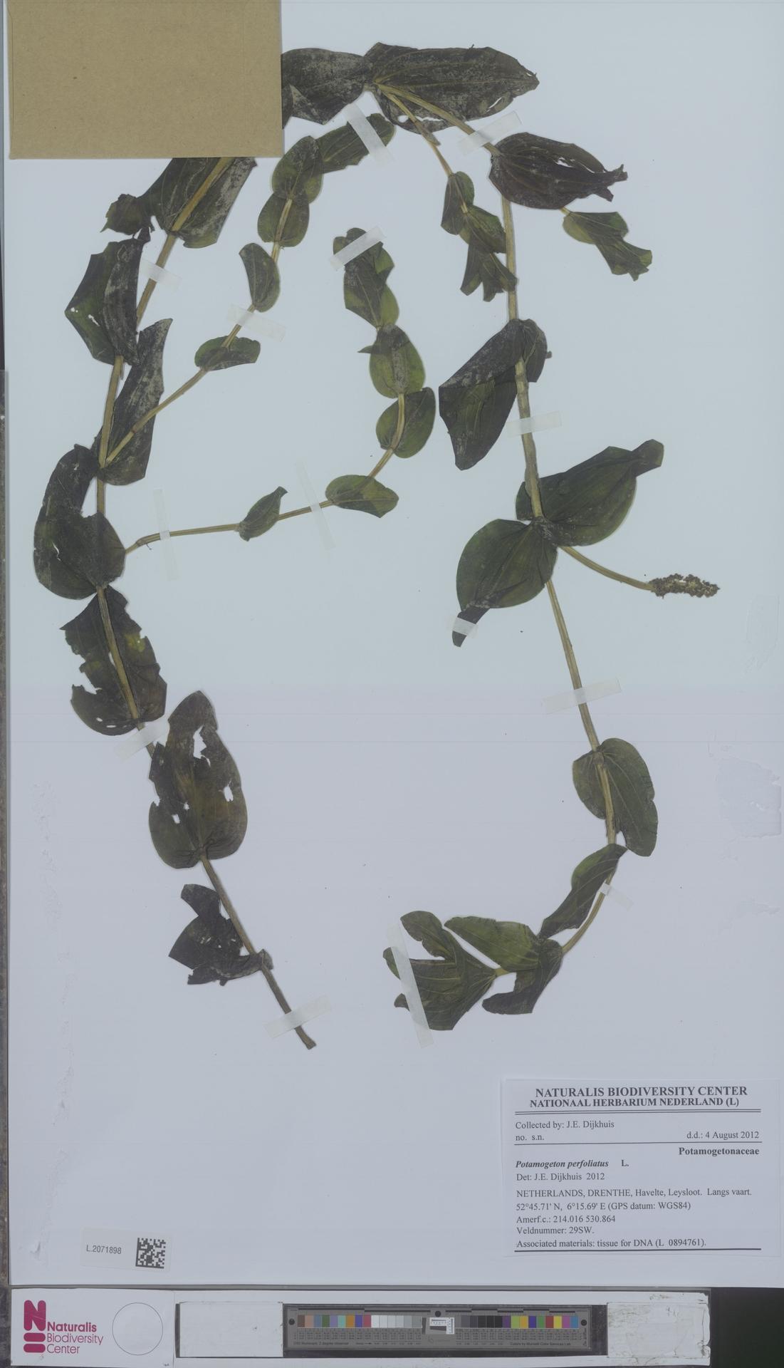L.2071898 | Potamogeton perfoliatus L.