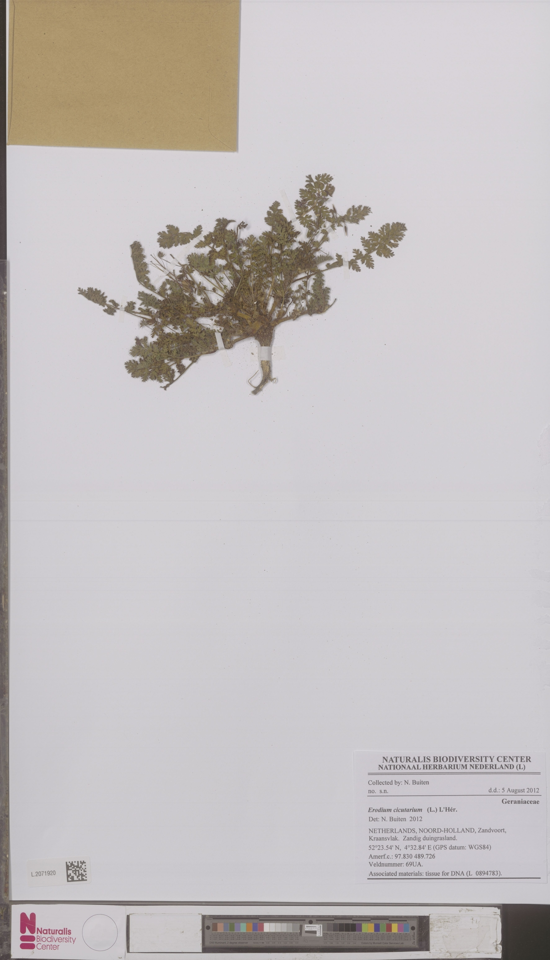 L.2071920 | Erodium cicutarium (L.) L'Hér.