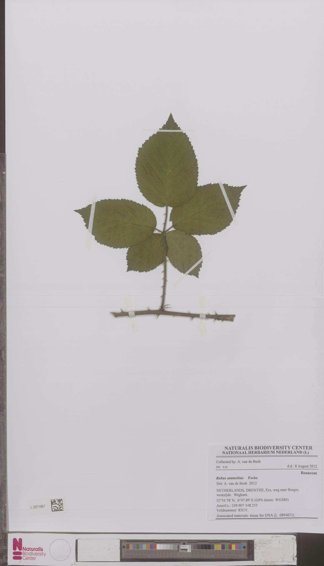 L.2071967   Rubus ammobius Focke