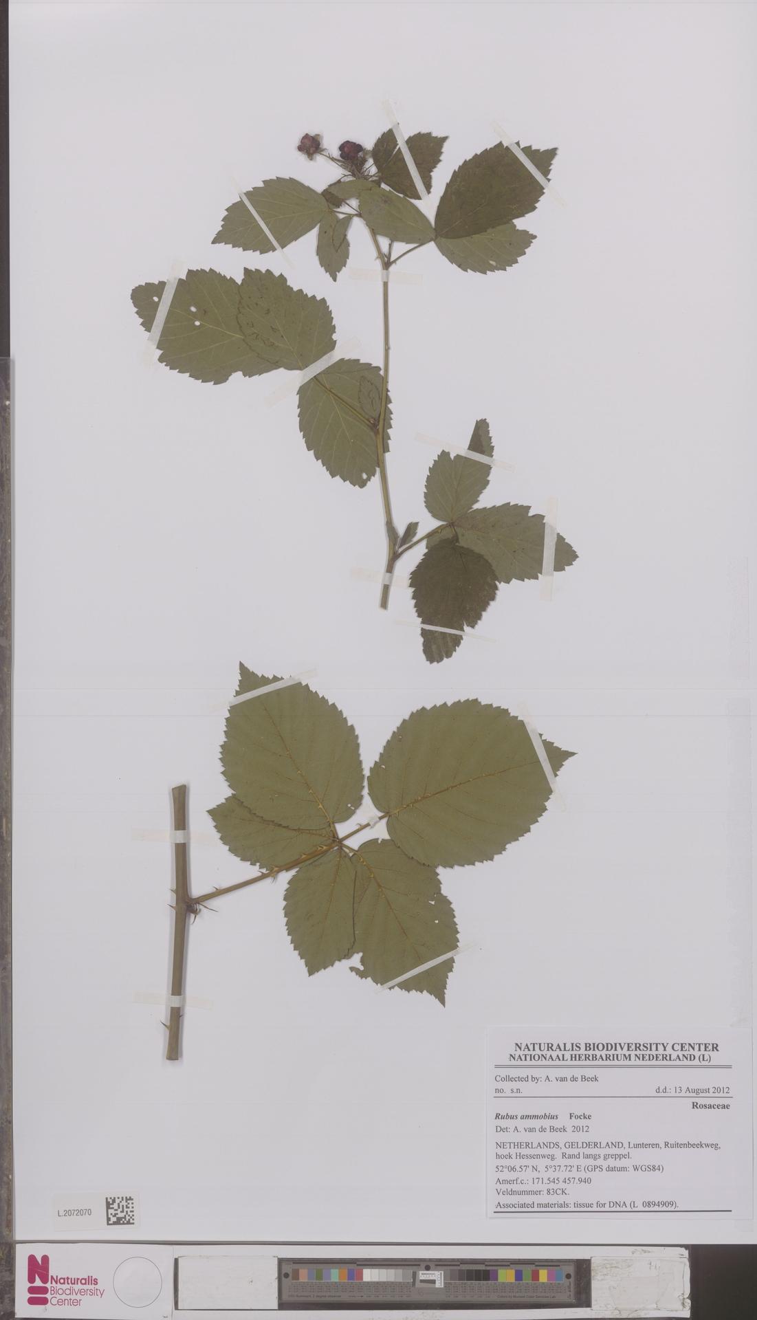 L.2072070 | Rubus ammobius Focke