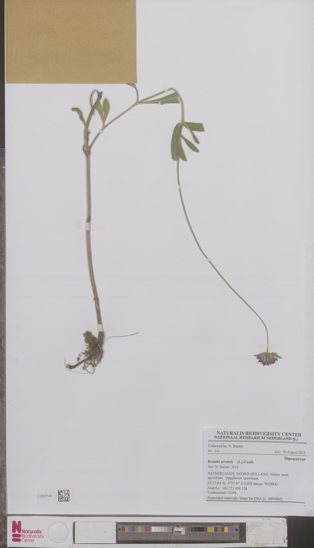 L.2072141 | Knautia arvensis (L.) Coult.