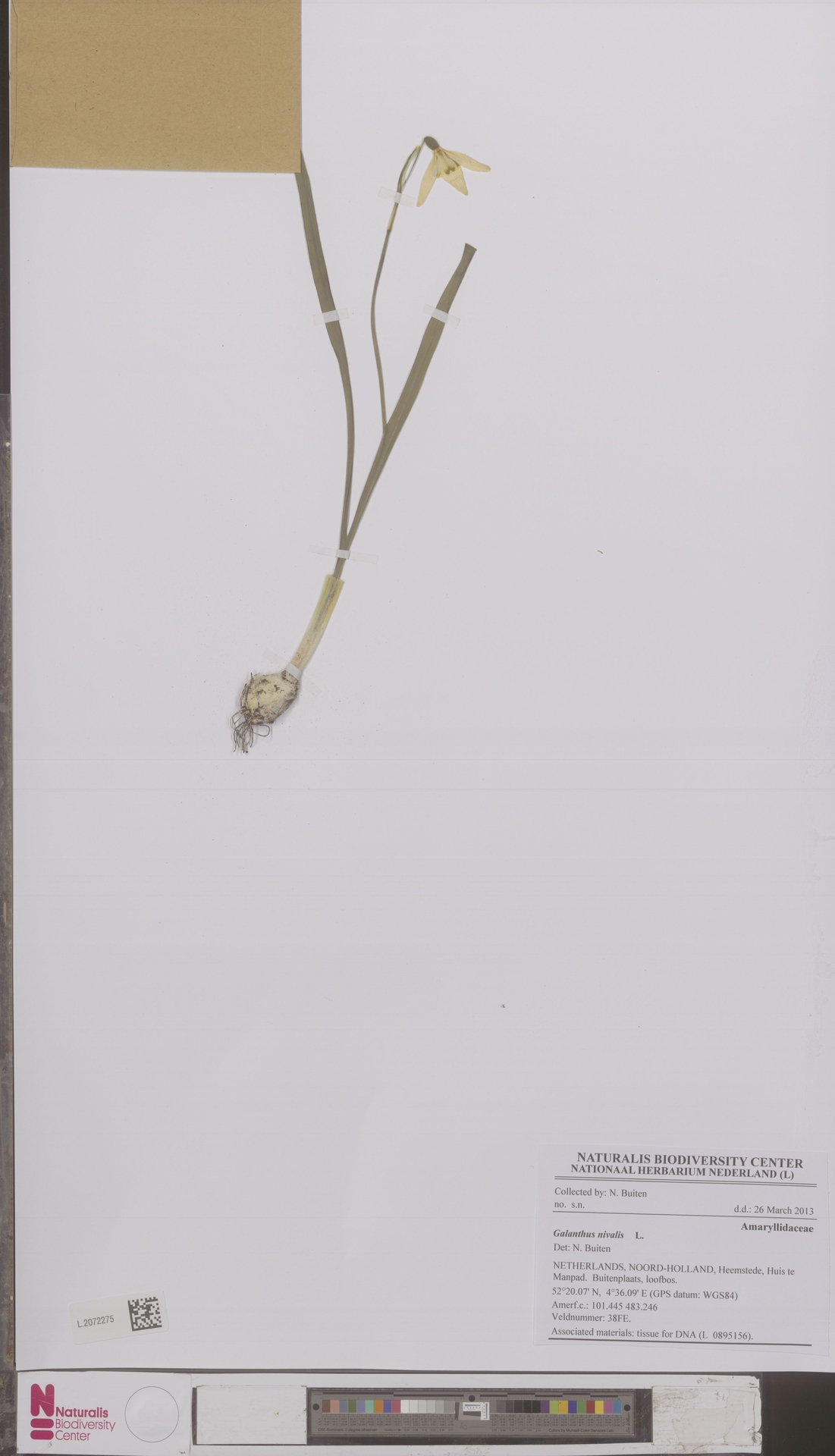 L.2072275 | Galanthus nivalis L.