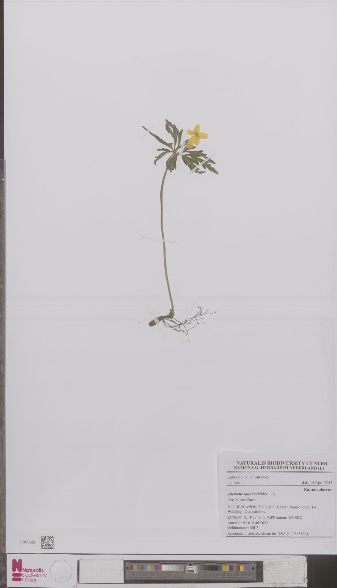 L.2072303 | Anemone ranunculoides L.