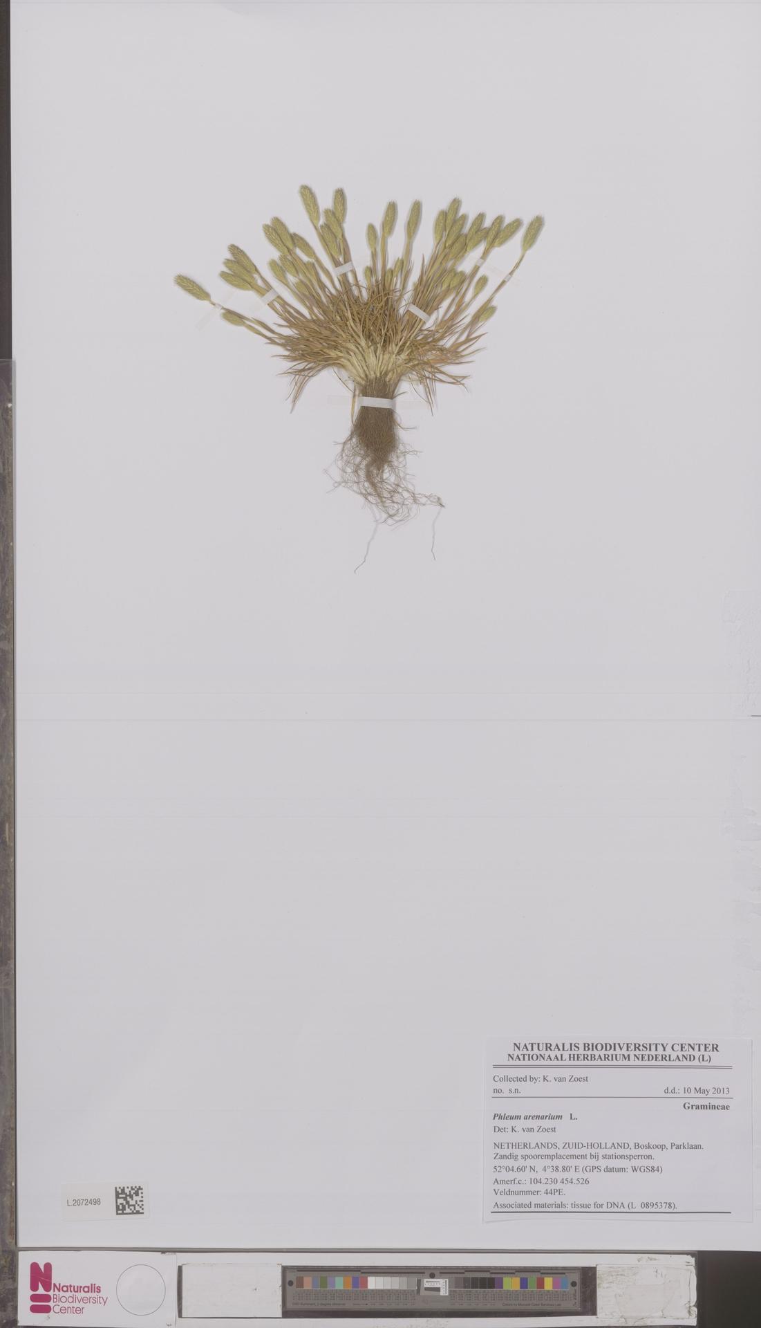 L.2072498 | Phleum arenarium L.