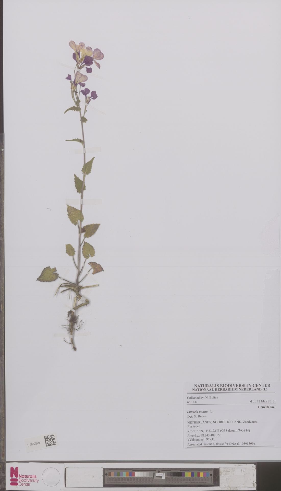 L.2072525   Lunaria annua L.
