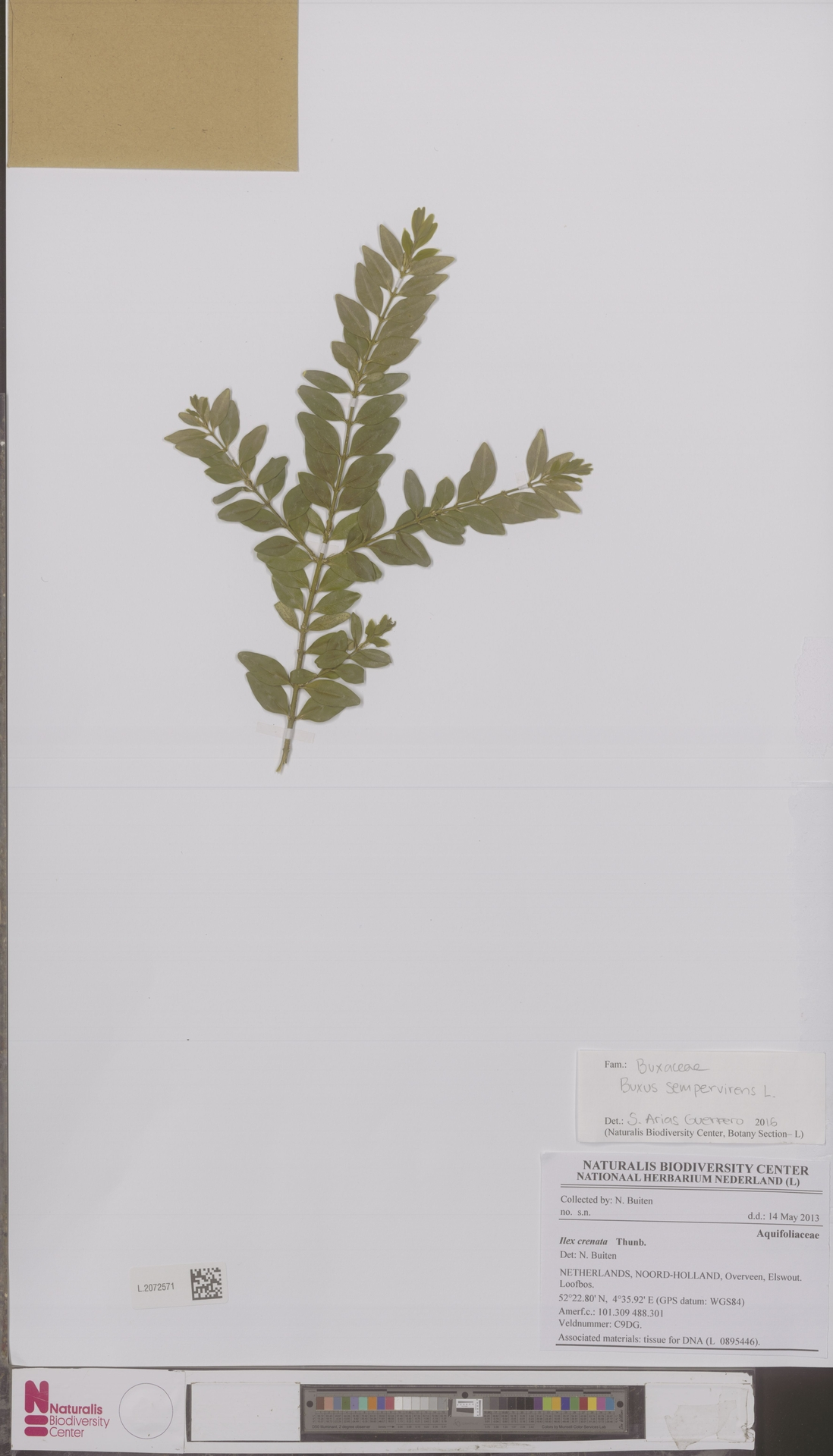 L.2072571 | Buxus sempervirens L.